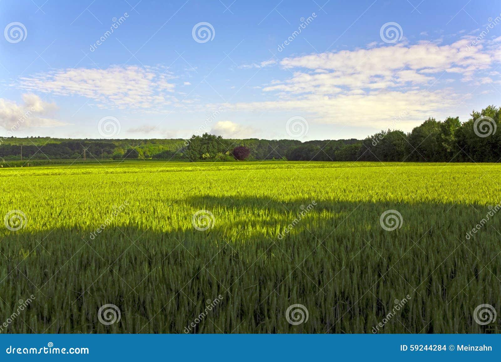 Download Ajardine Con Acres, Maíz Y Nubes Blancas Foto de archivo - Imagen de copia, agricultura: 59244284