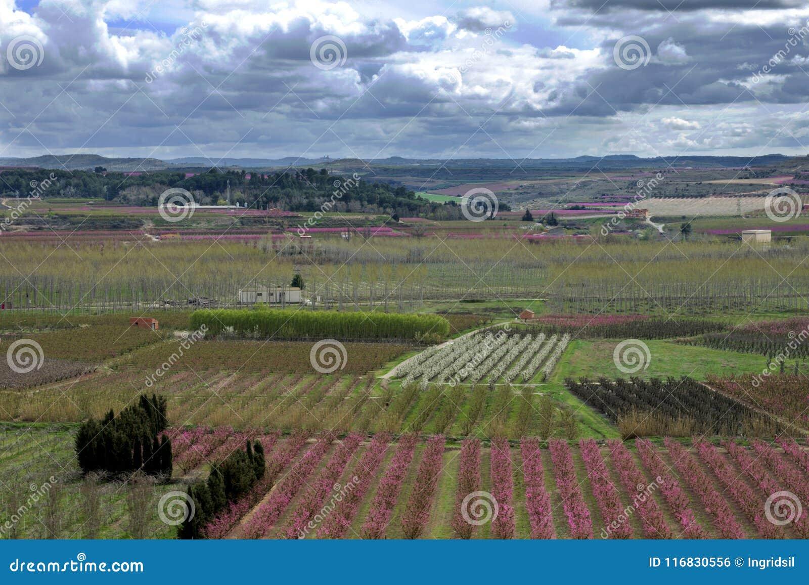 Ajardine con los campos de las filas del árbol de melocotón, y el peral rema, floreciendo Con un fondo nublado y brillante del ci