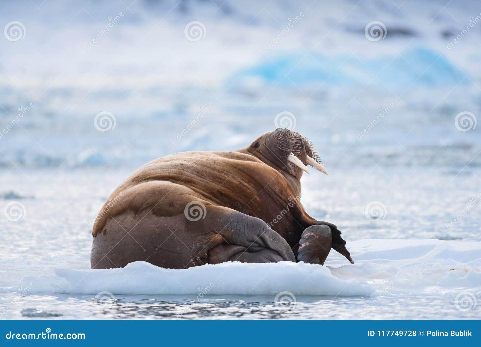 Ajardine la morsa de la naturaleza en una masa de hielo flotante de hielo del día ártico de la sol del invierno de Spitsbergen Lo