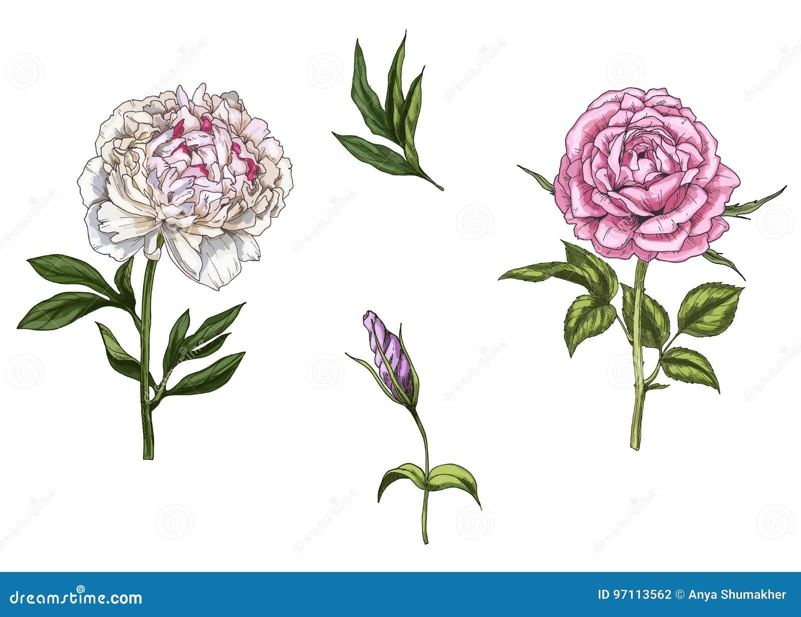 Ajuste com a flor cor-de-rosa e da peônia, as folhas, o botão e as hastes isolados no fundo branco Ilustração botânica