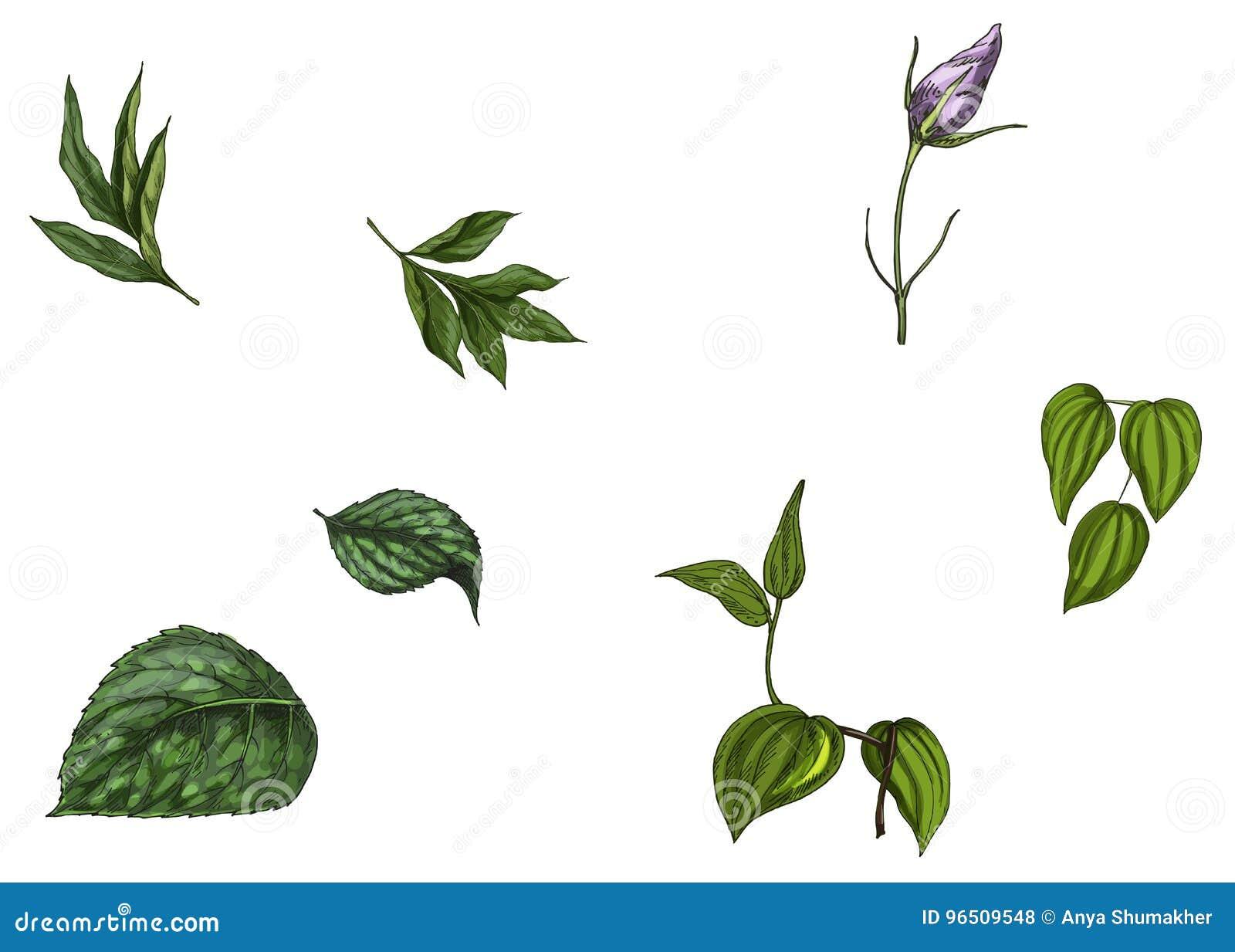 Ajuste com a flor em botão, as folhas e a haste isoladas no fundo branco Ilustração botânica