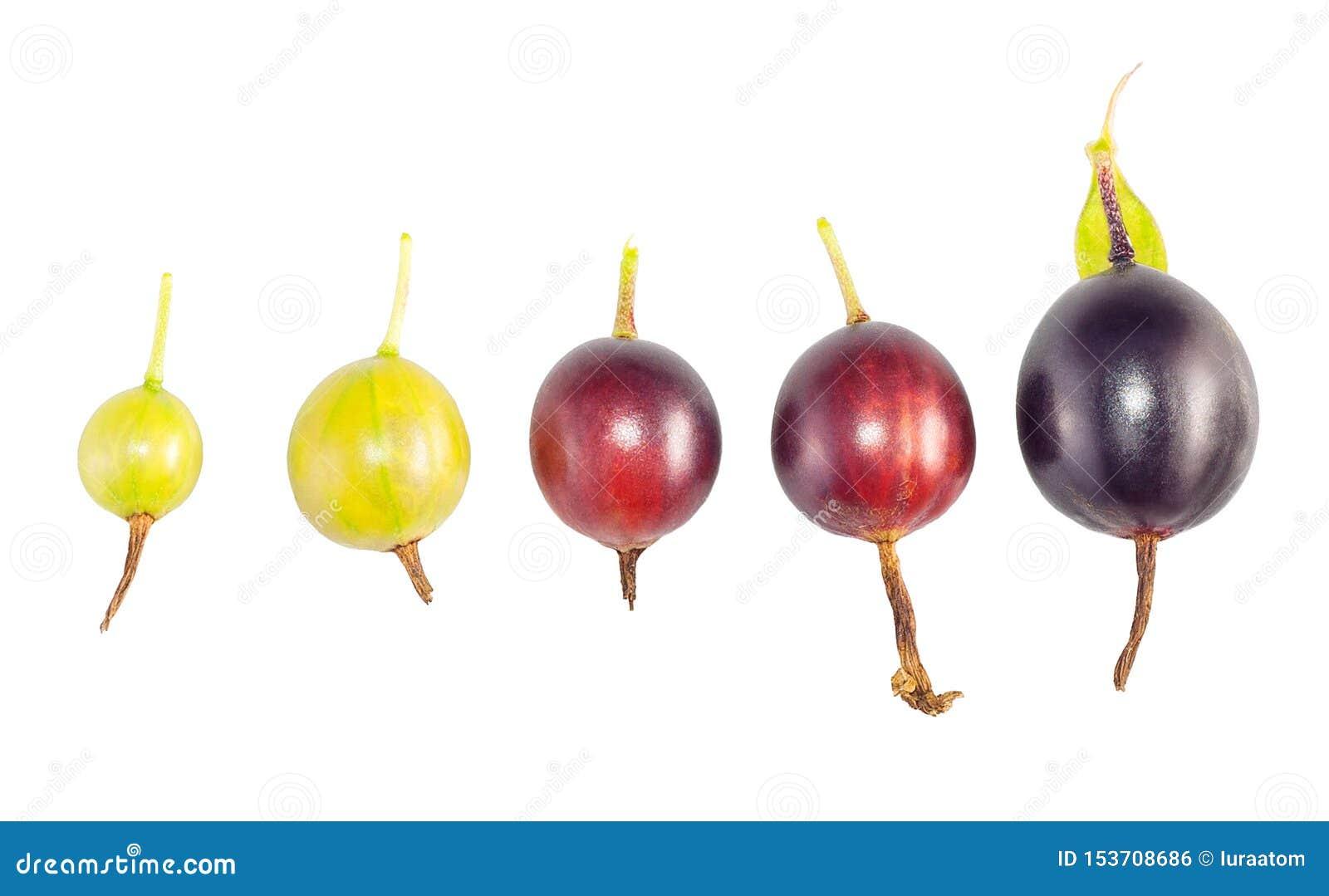 Ajuste das fases do amadurecimento de fruto do corinto preto em um branco