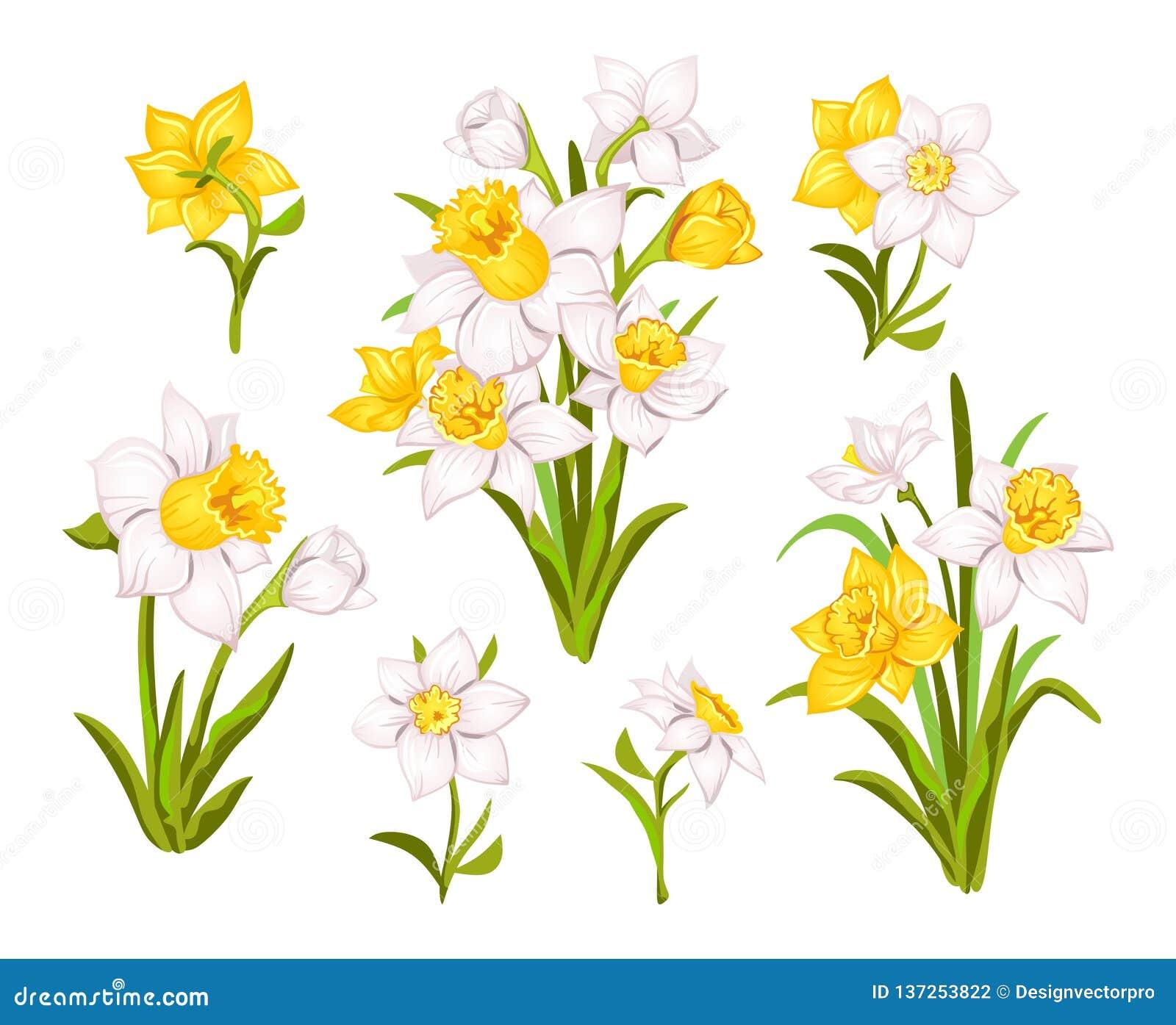 Ajuste das flores bonitas do narciso para os cartões, os cartazes, a matéria têxtil etc. Ilustração do vetor do narciso dos desen
