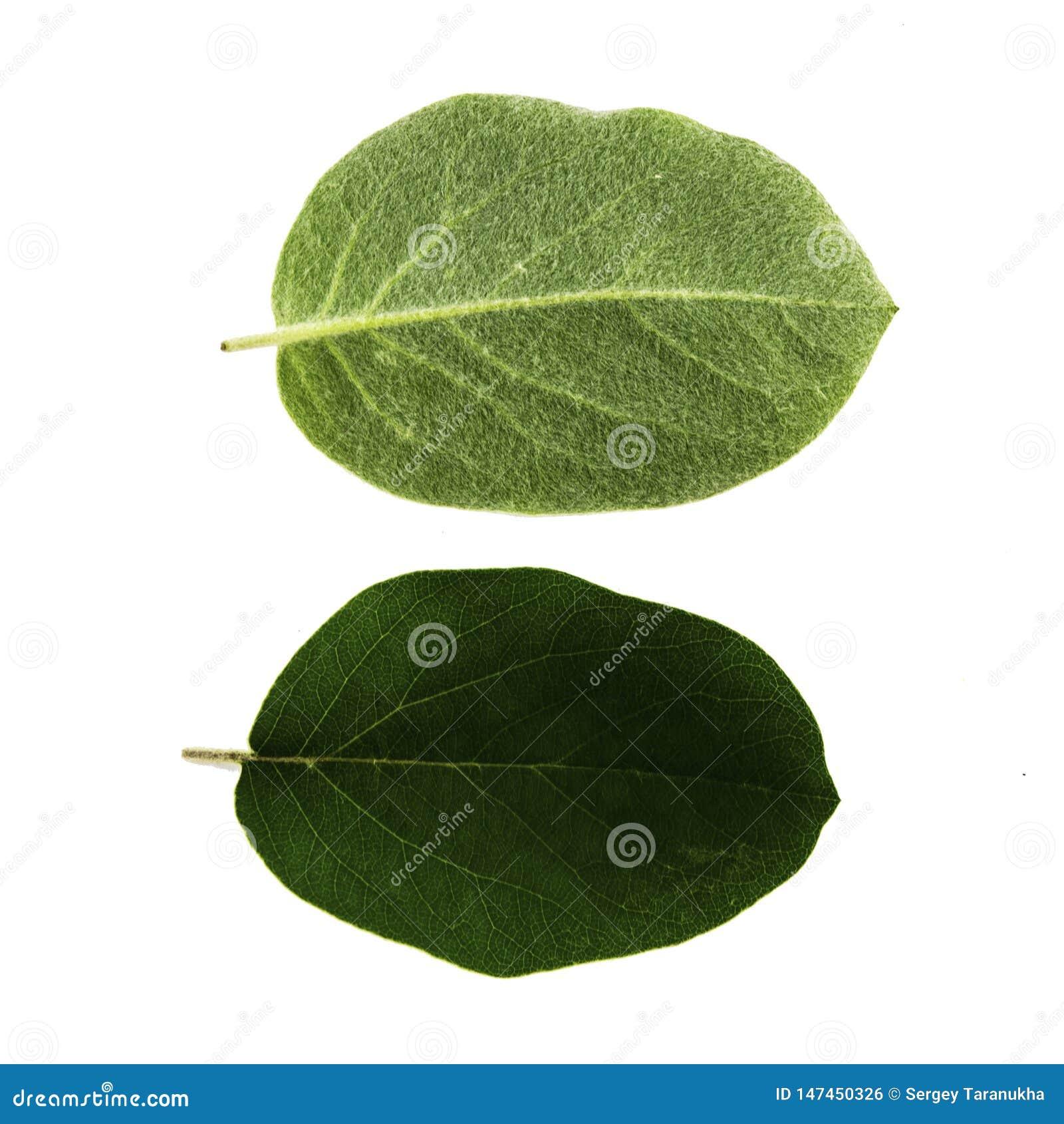 Ajuste de duas folhas verdes do marmelo isoladas no lado branco do fundo, o superior e o inferior da folha