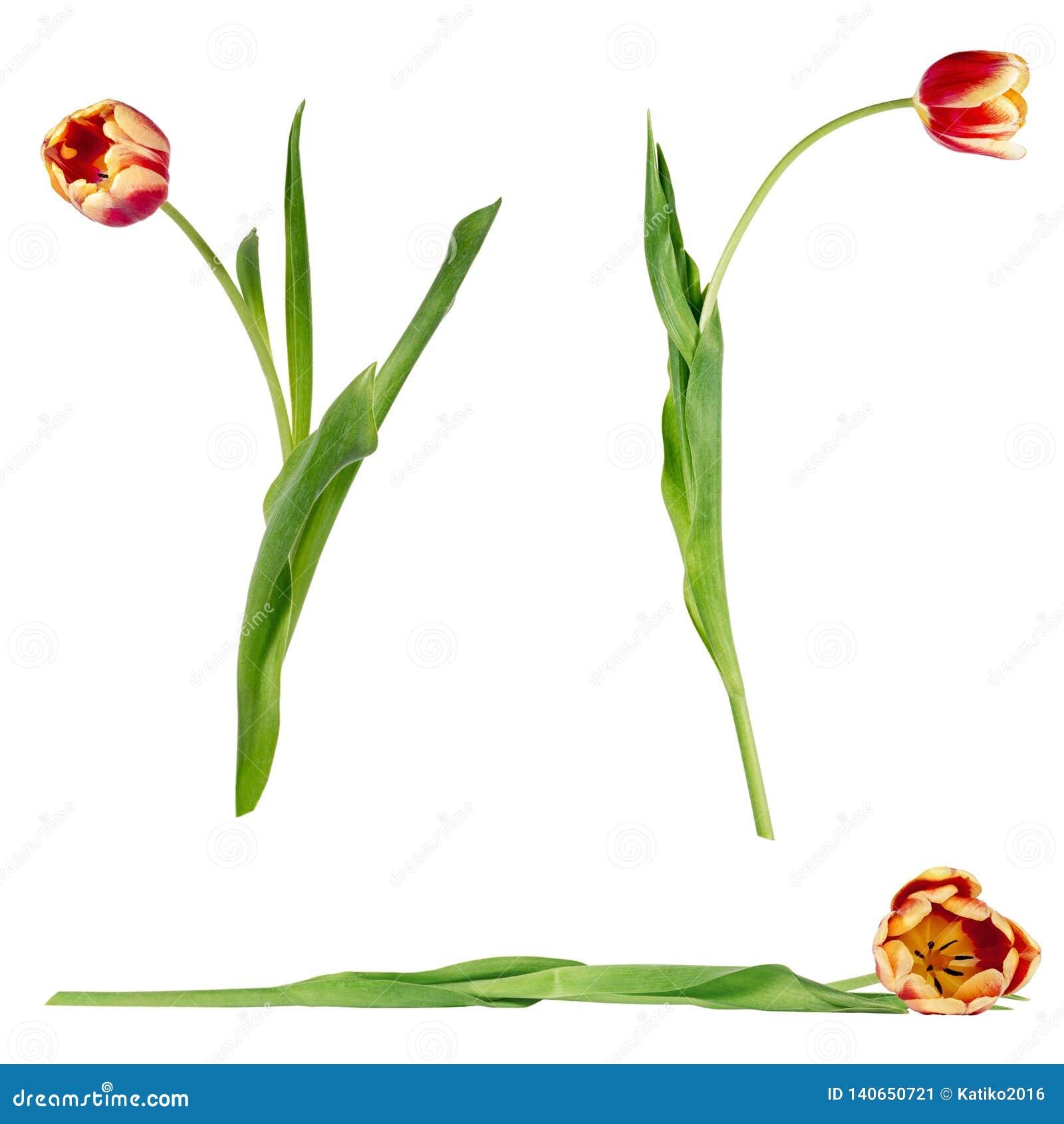 Ajuste de três tulipas vermelhas e amarelas vívidas bonitas em hastes com as folhas verdes isoladas no fundo branco