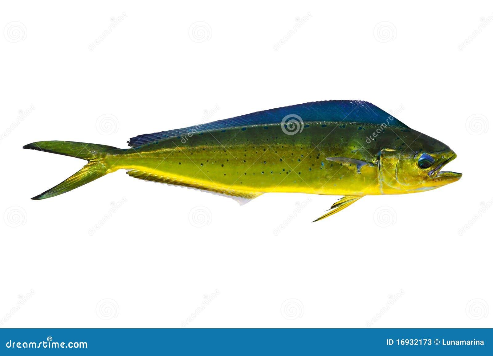Aka dorado dolphin fish mahi mahi on white stock image for Is a dolphin a fish
