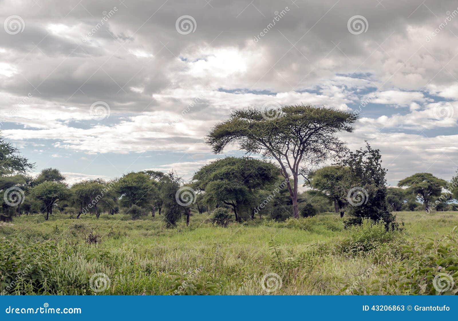 Download Akacia av Tanzania fotografering för bildbyråer. Bild av grässlätt - 43206863