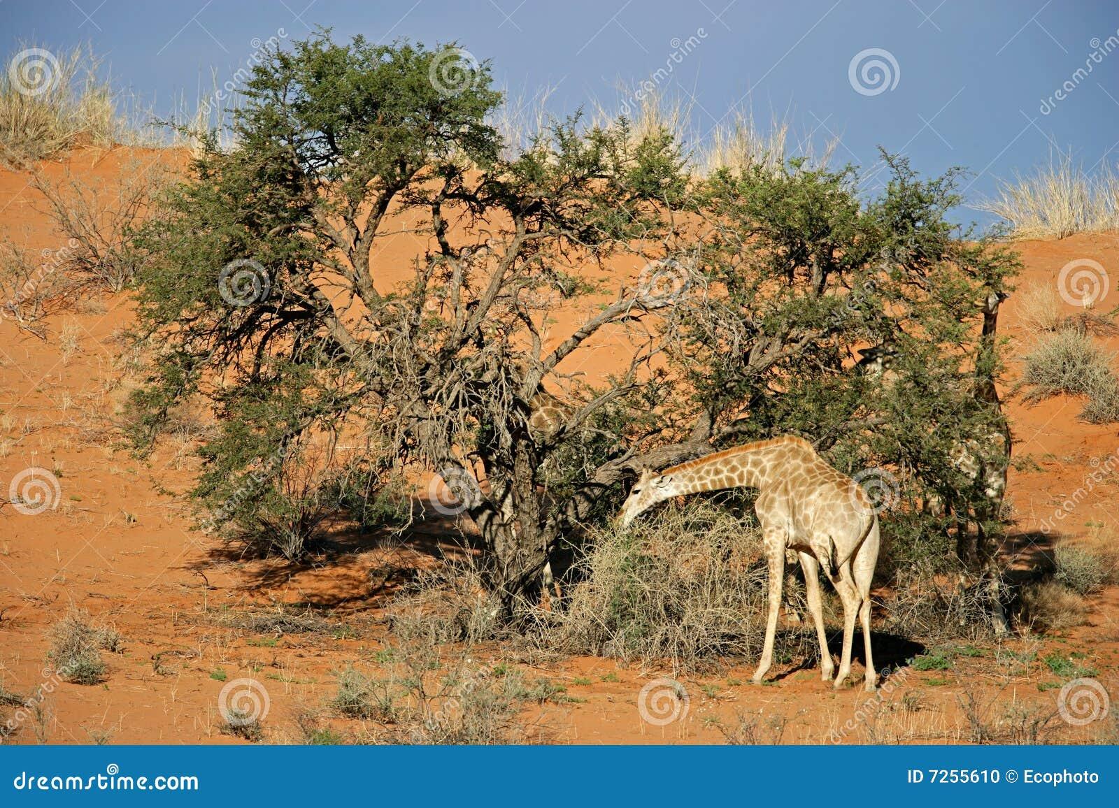 Akacjowy żyrafy drzewo