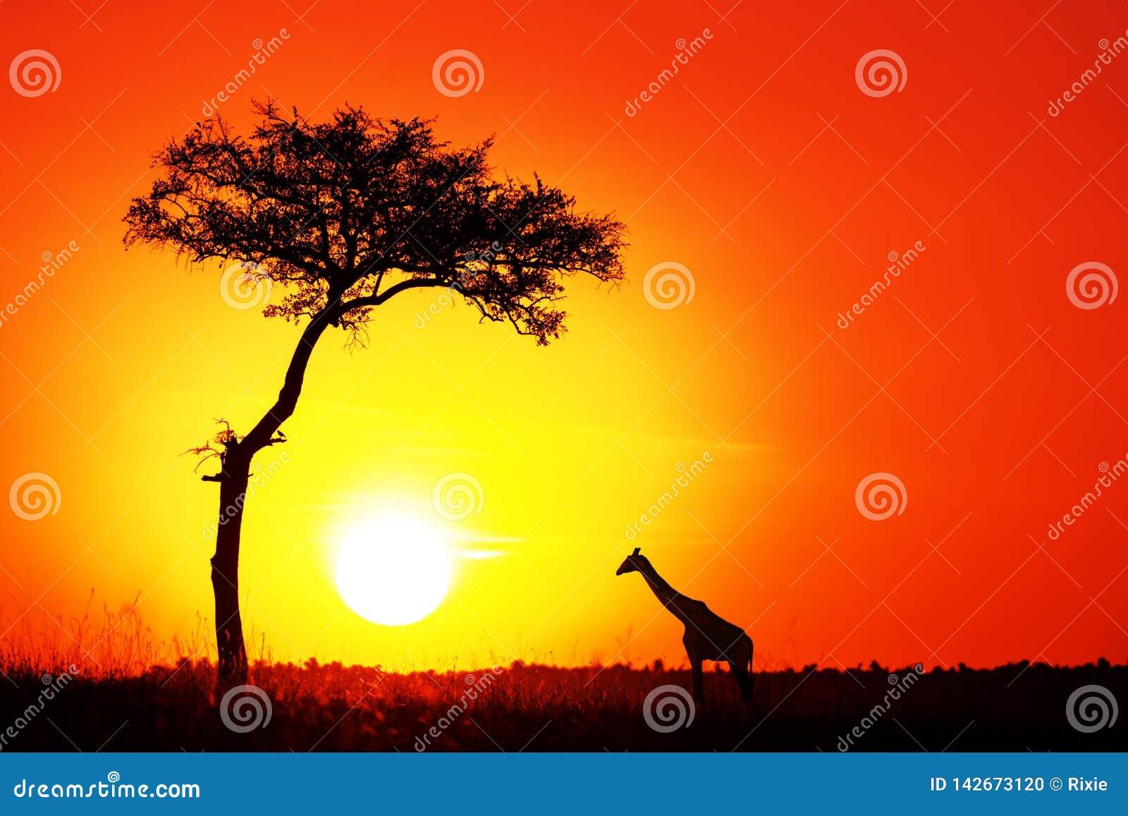 Akacjowy drzewo i ?yrafa przeciw po?o?enia s?o?cu w Masai Mara