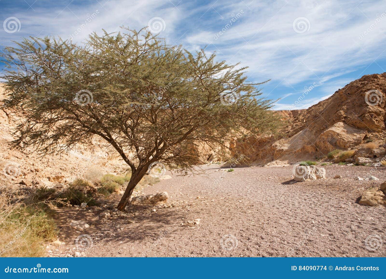Akazien Baum In Der Steinwüste Rote Schlucht Israel Stockfoto