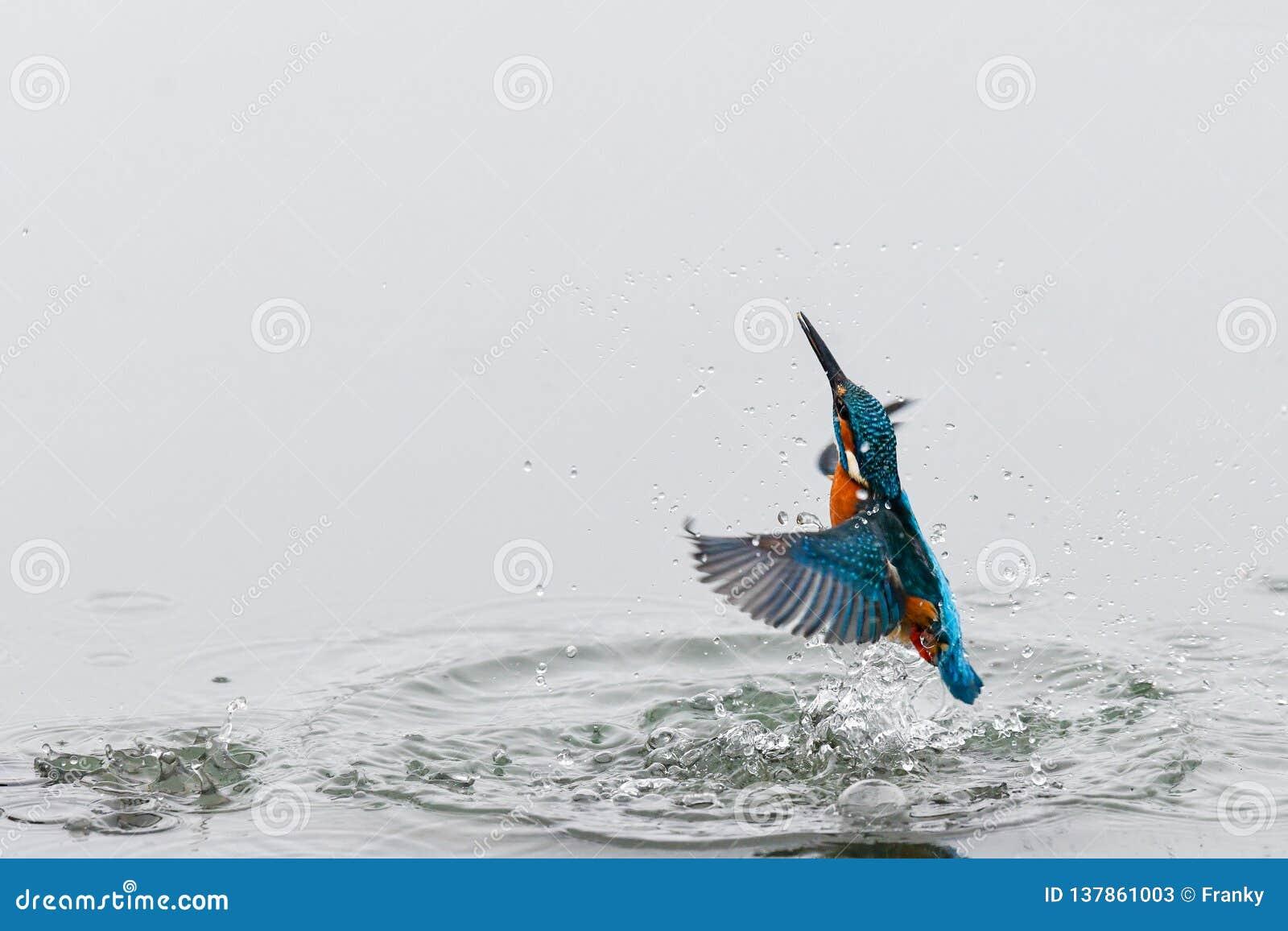 Akcji fotografia zimorodek nadchodzący za wodzie od