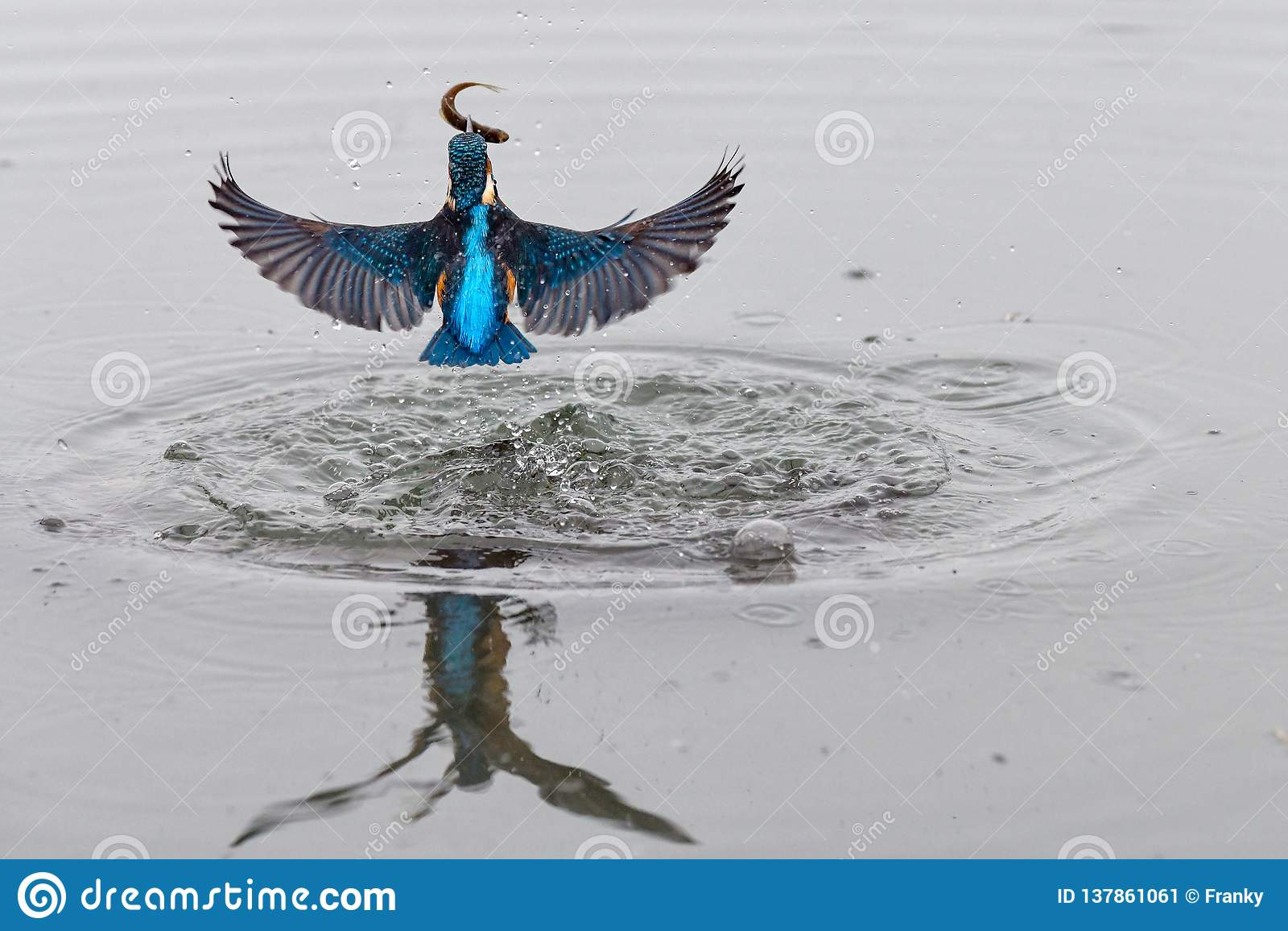 Akcji fotografia zimorodek nadchodzący za wodzie z rybą w swój belfrze od po pomyślnego połowu