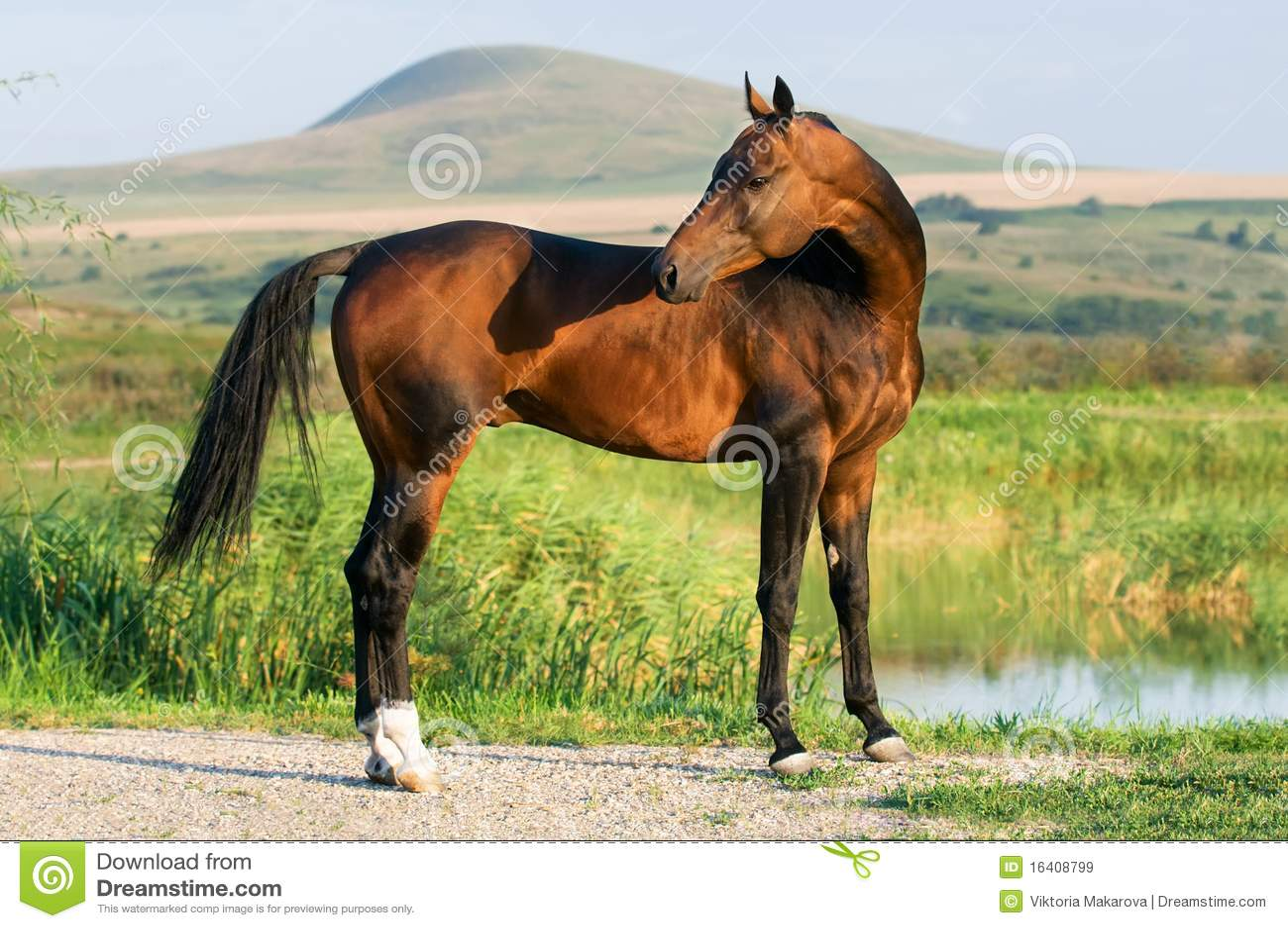 Akhal guld- hästteke