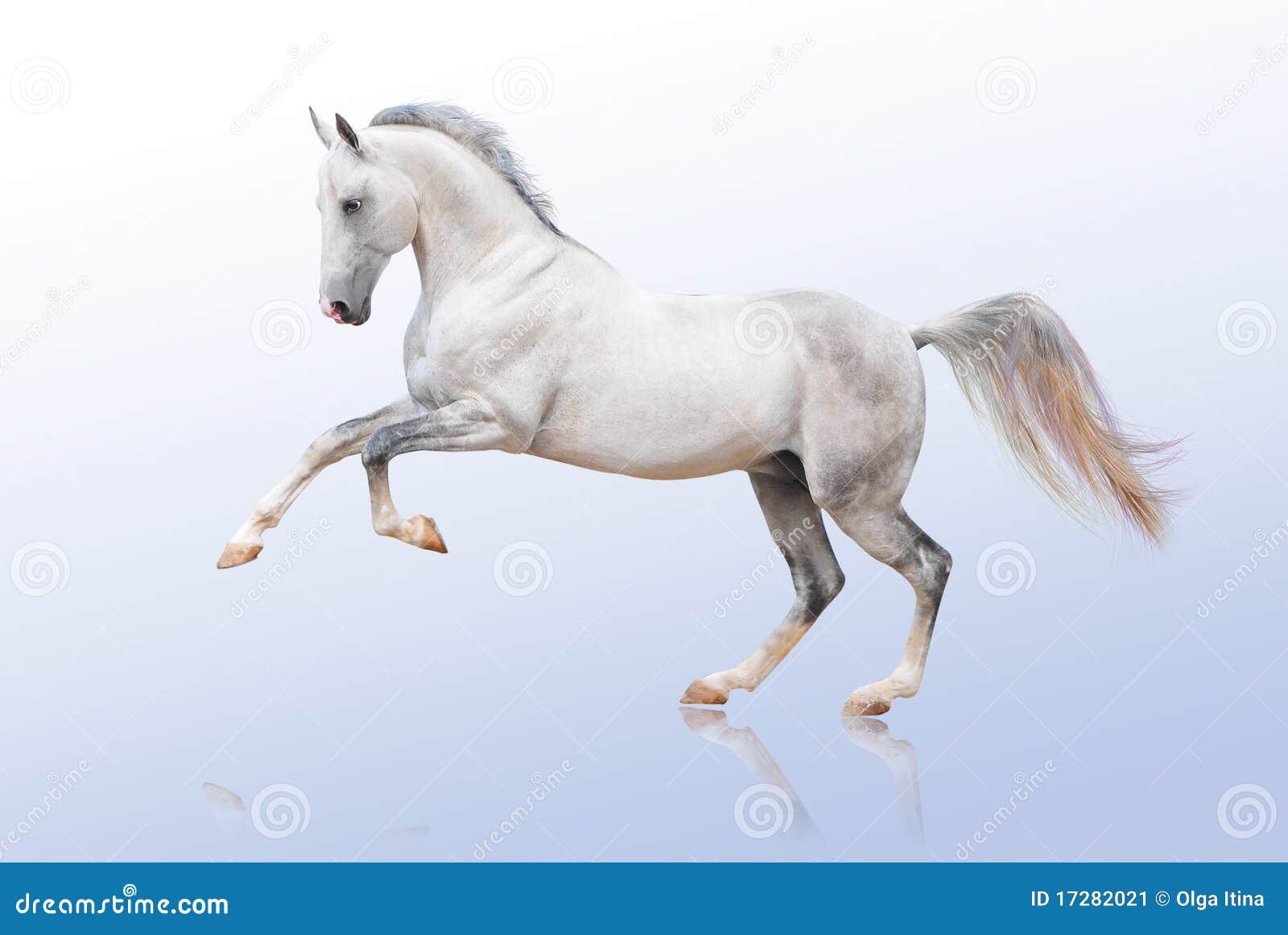 Akhal hästtekewhite