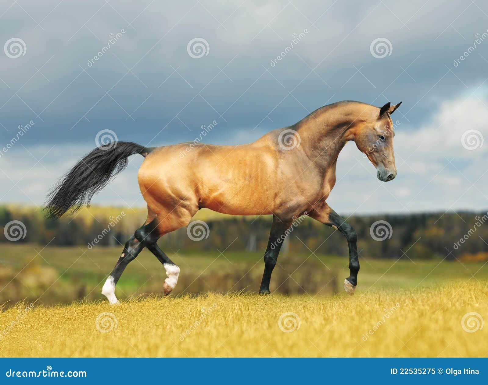 Akhal-teke horse in autumn
