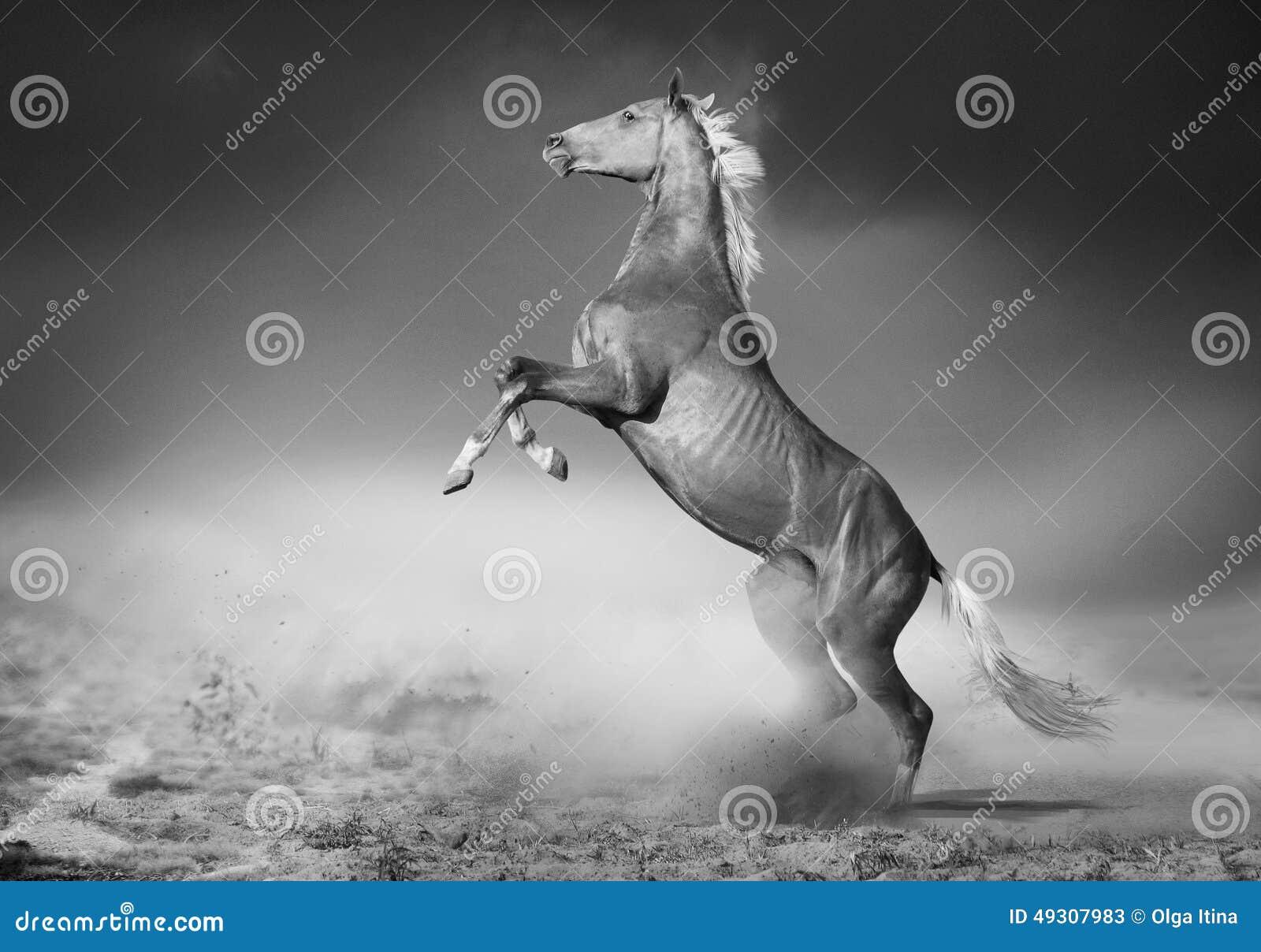 Akhal-teke horse rears in desert