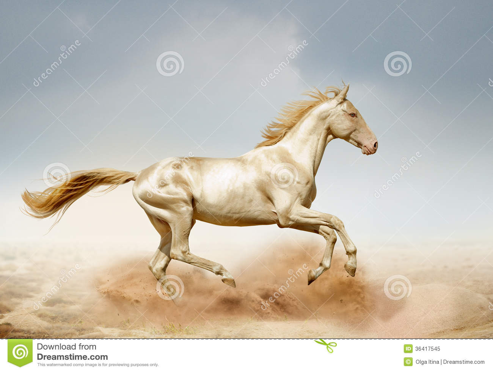 Akhal-teke horse running in desert