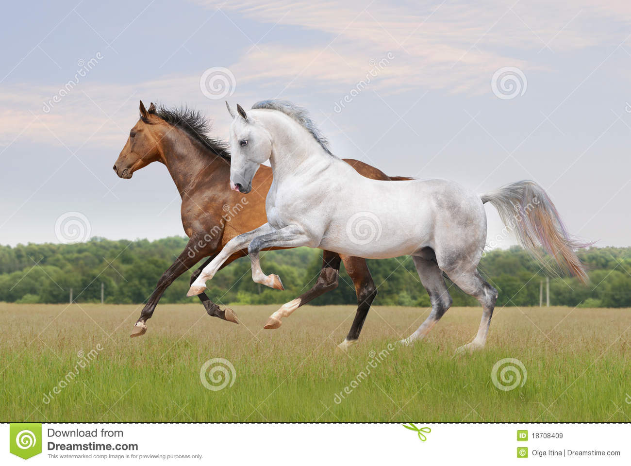Akhal Teke Horse On White Royalty Free Stock Images