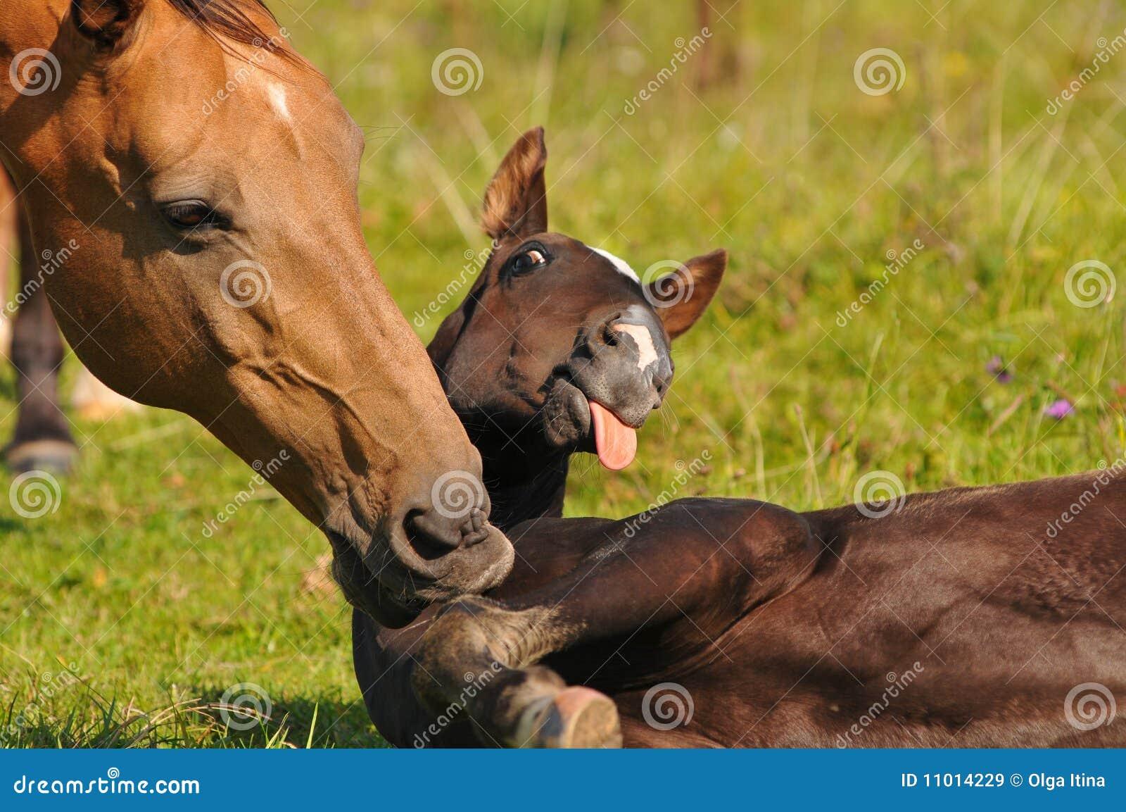 Akhal-teke mare and foal