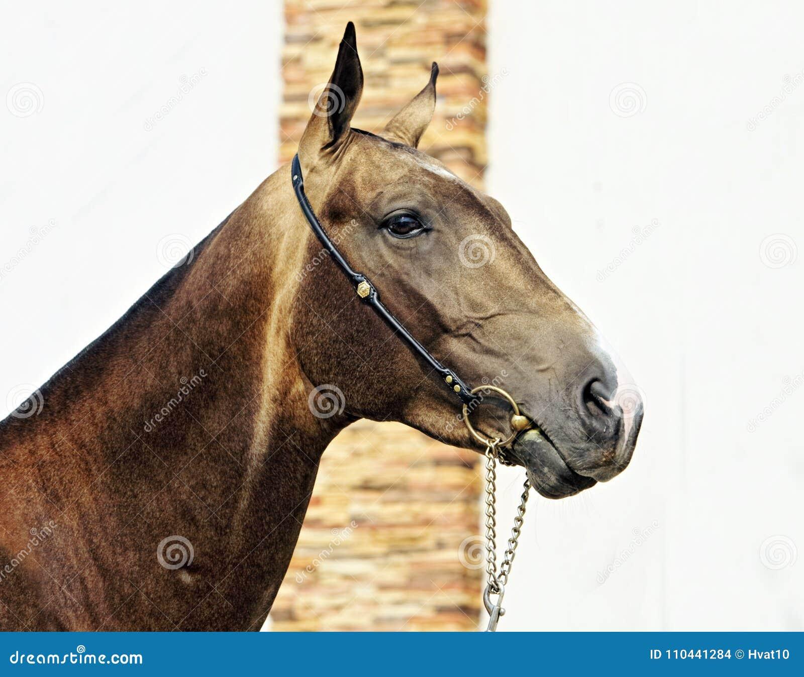 Akhalteke horse portrait on stud background