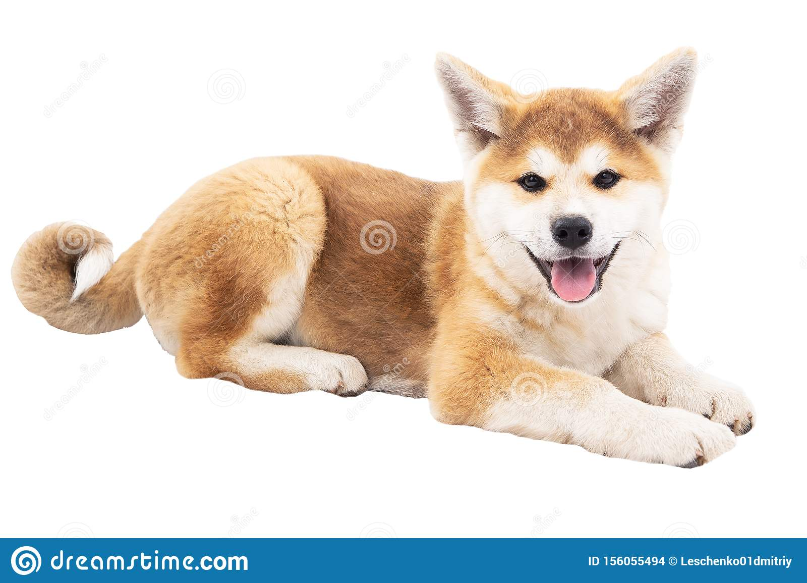 Akita Beautiful Dogs Thoroughbred Dogs Stock Photo Image Of Cute Little 156055494