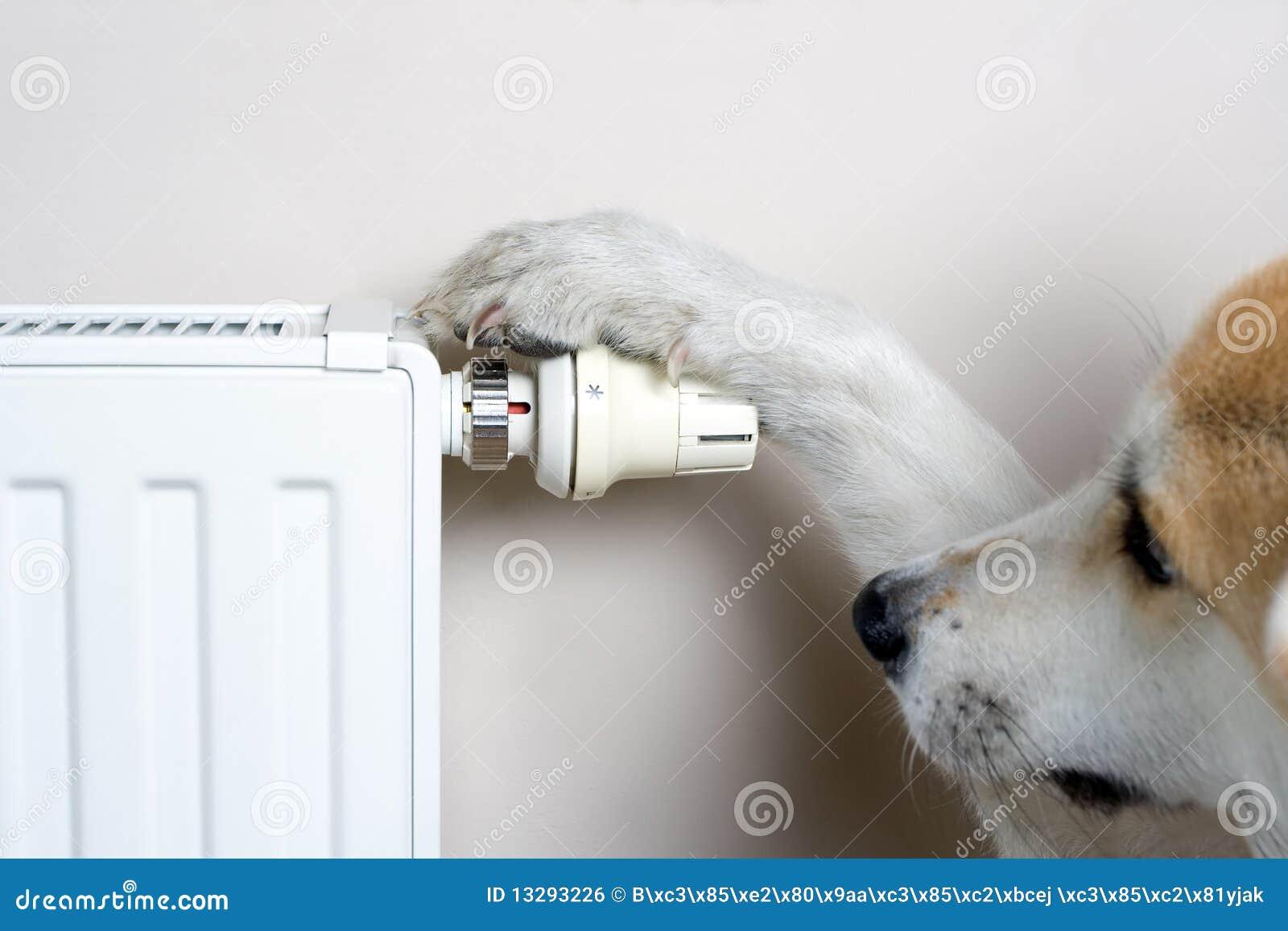 Akita dog adjusting comfort temperature