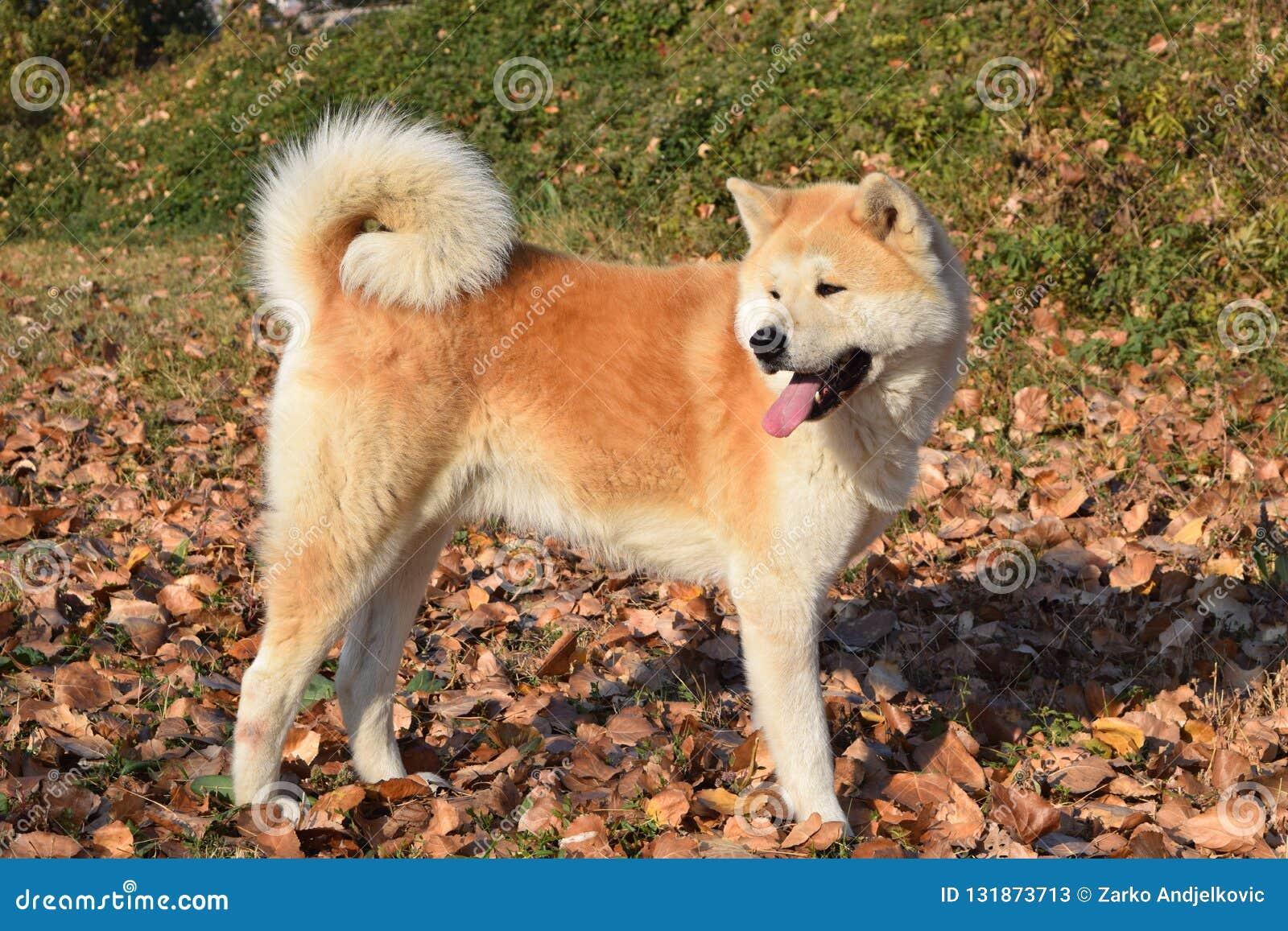 Akita dog on autumn sun