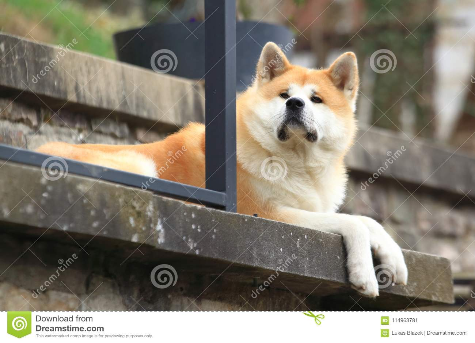 Akita hund