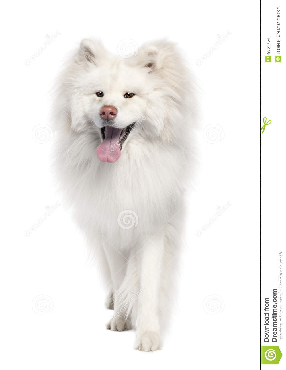 Akita Inu 18 Months Old Stock Images Image 9051754