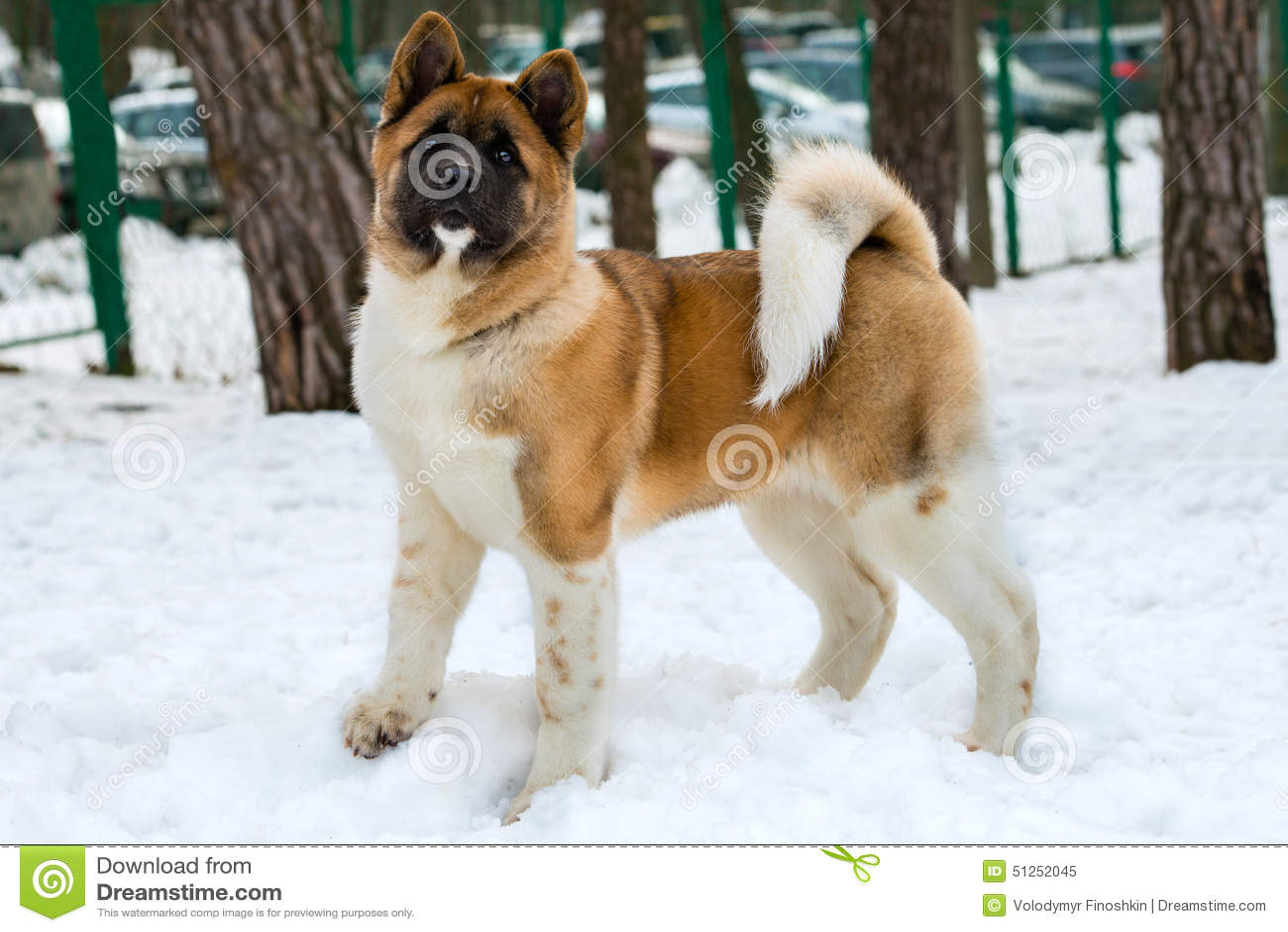 Akita Inu i snö