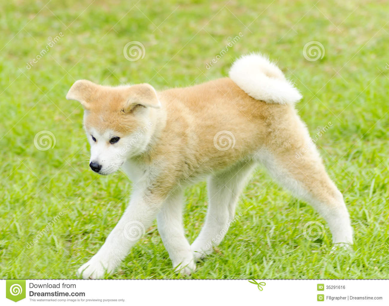 Akita inu stock photo image of friendly companion coat for Puppy dog walker