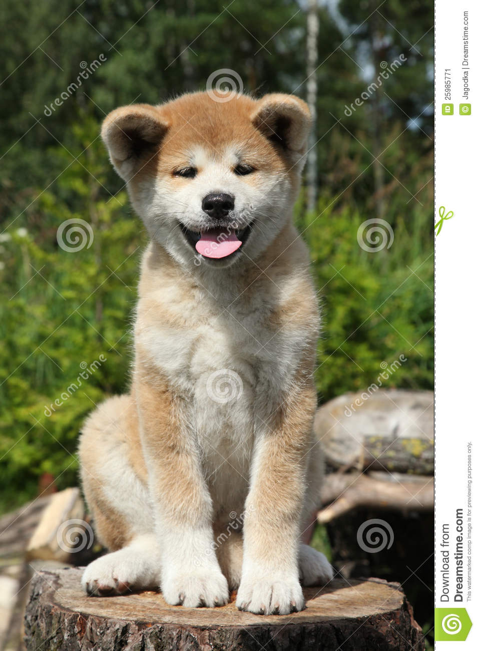 Akita inu puppy sitting on a tree stump. outdoor shoot.