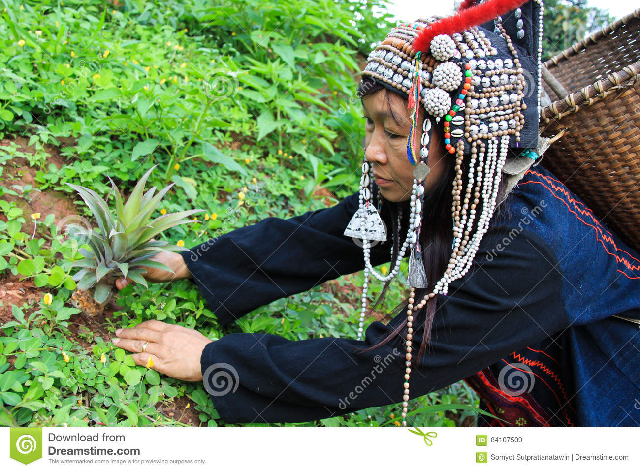 Akka hill tribe in costume dress working plant pineapple tree