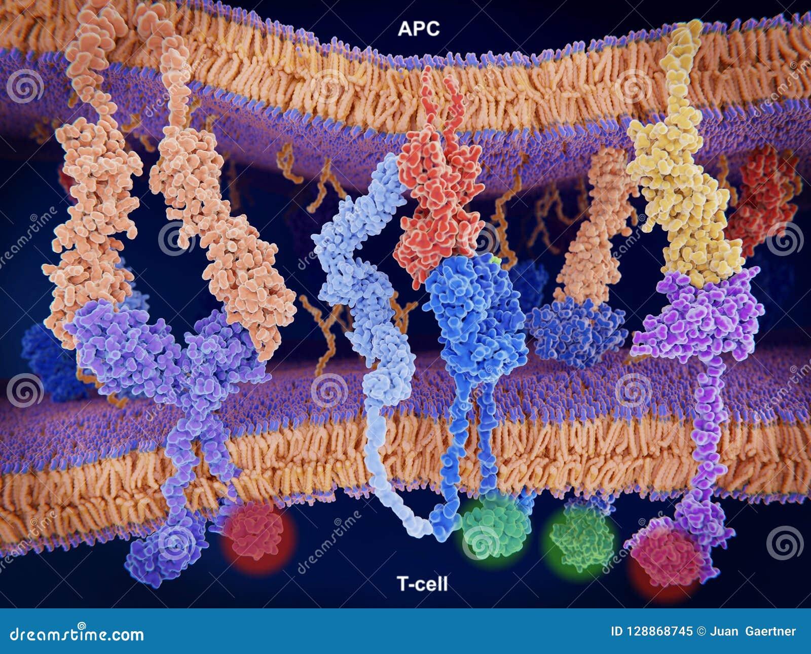 Aktivering och hämning av det immuna svaret på T-celler