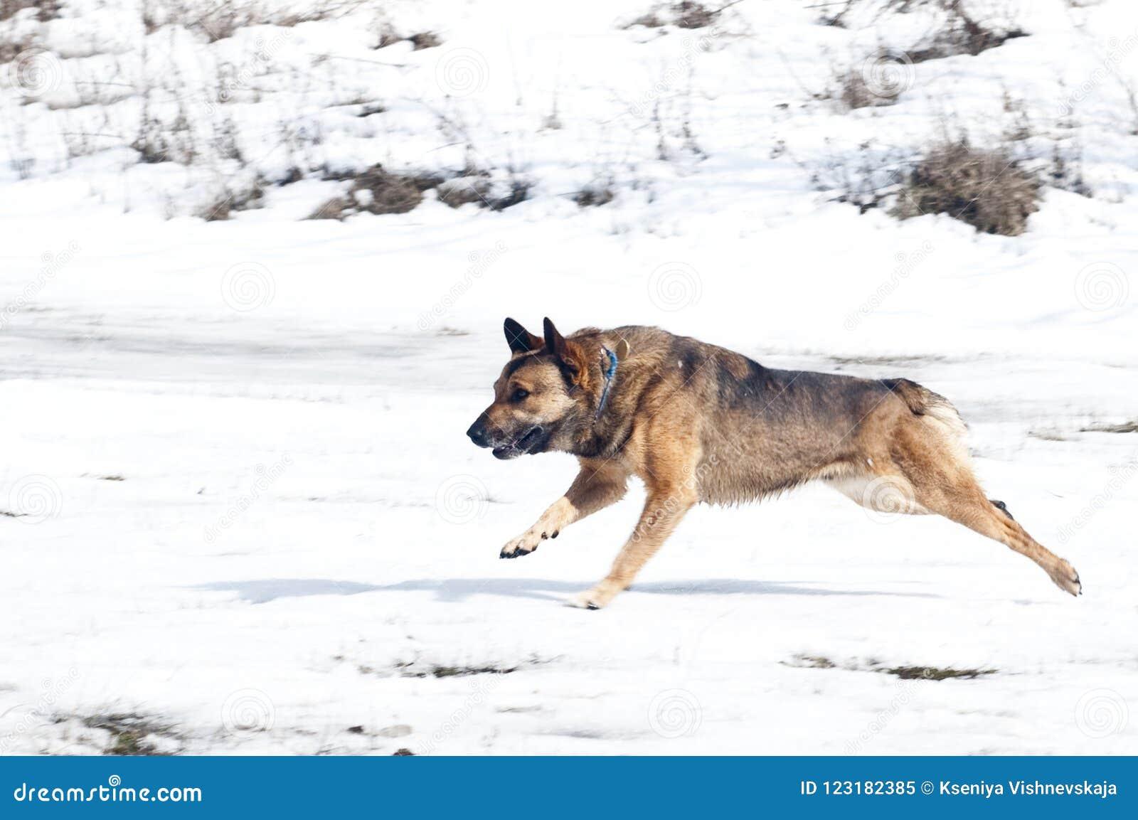 Aktives lustiges laufendes Brown und schwarzer Hund mit den geraden Ohren
