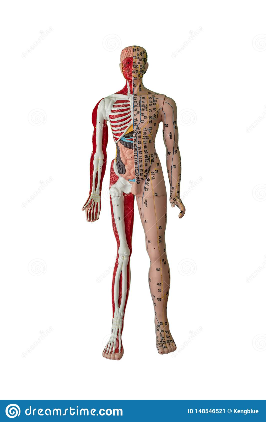 Akupunkturpunkt-, -knochen-, -muskel- und -Organzahl