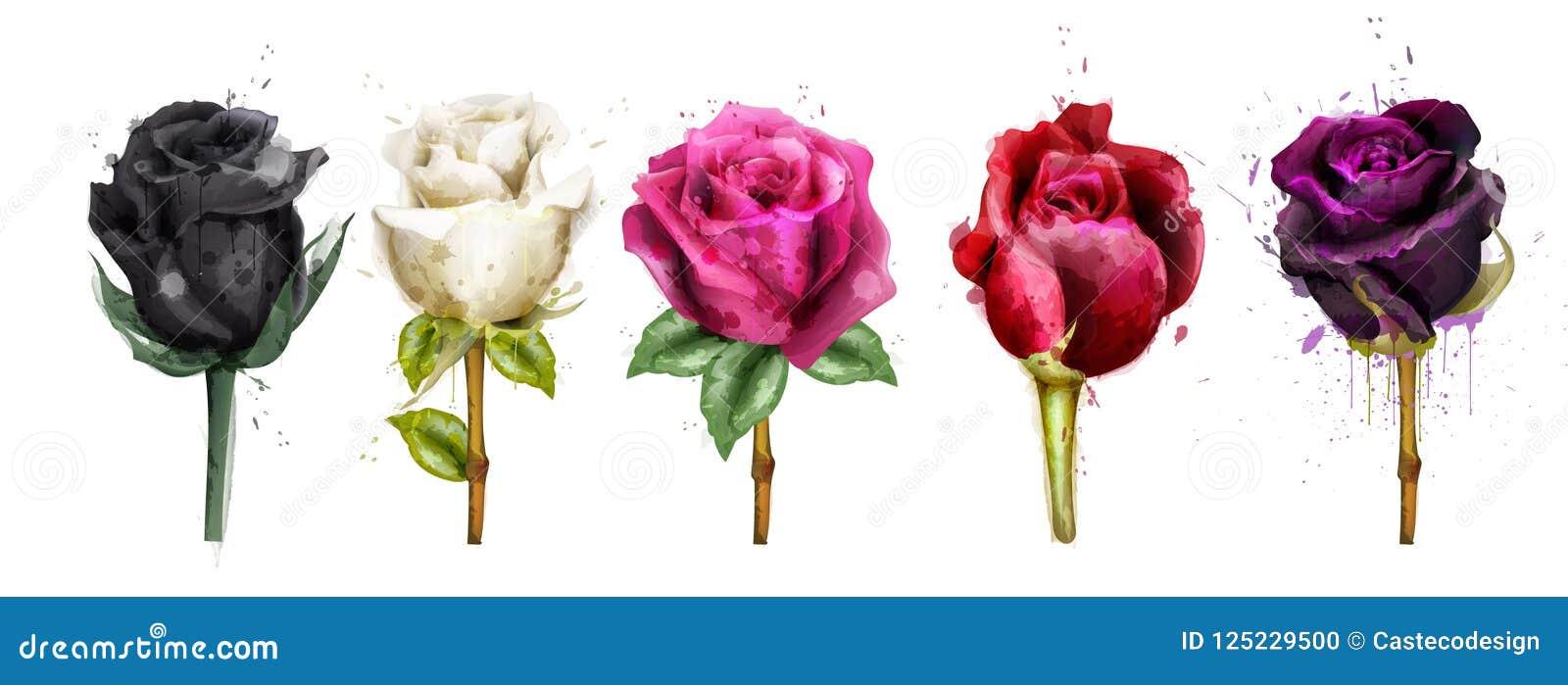 Akwarela kolorowe róże ustawiający inkasowy wektor Czerni róża, menchia, czerwień kwiaty Piękne szczegółowe kwieciste ilustracje