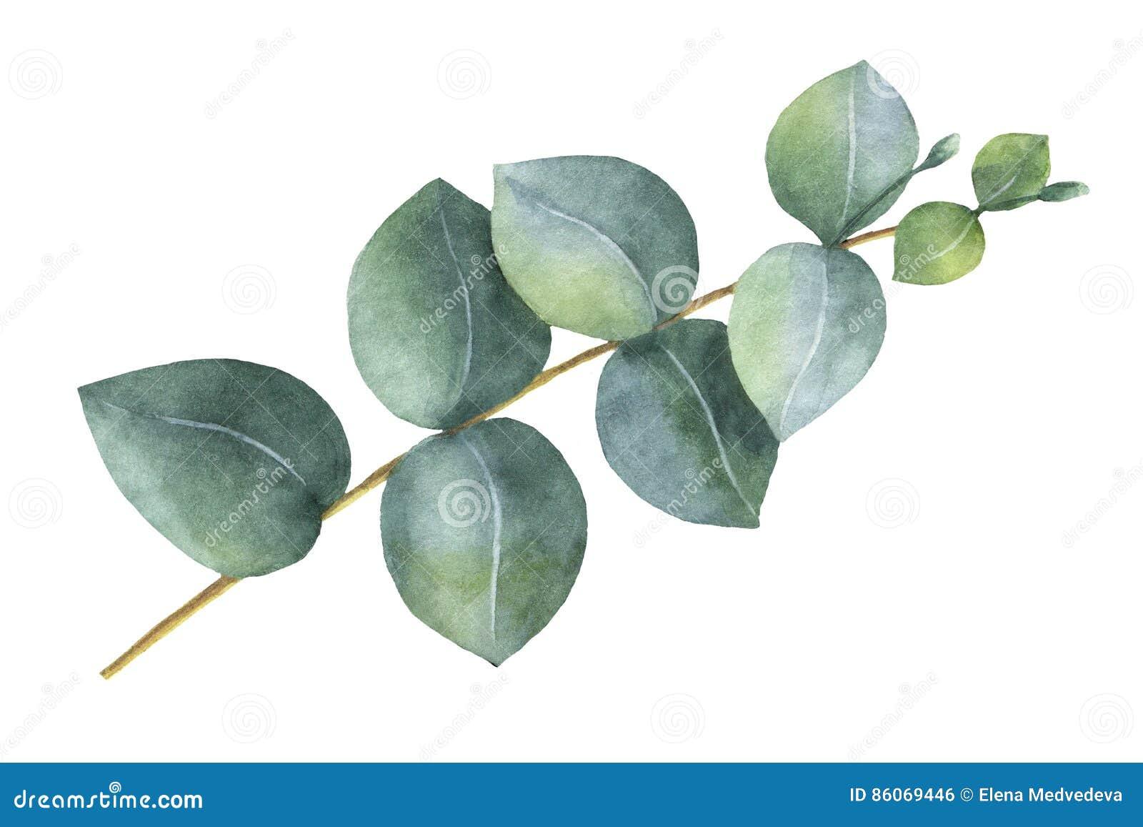 Akwarela srebnego dolara ręka malujący eukaliptus opuszcza i rozgałęzia się