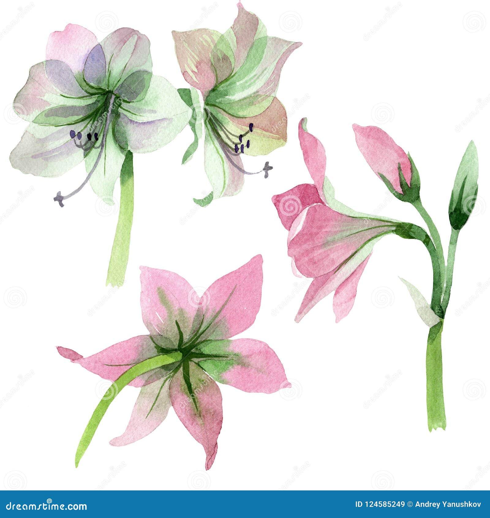 Akwareli amarylisów różowy kwiat Kwiecisty botaniczny kwiat Odosobniony ilustracyjny element