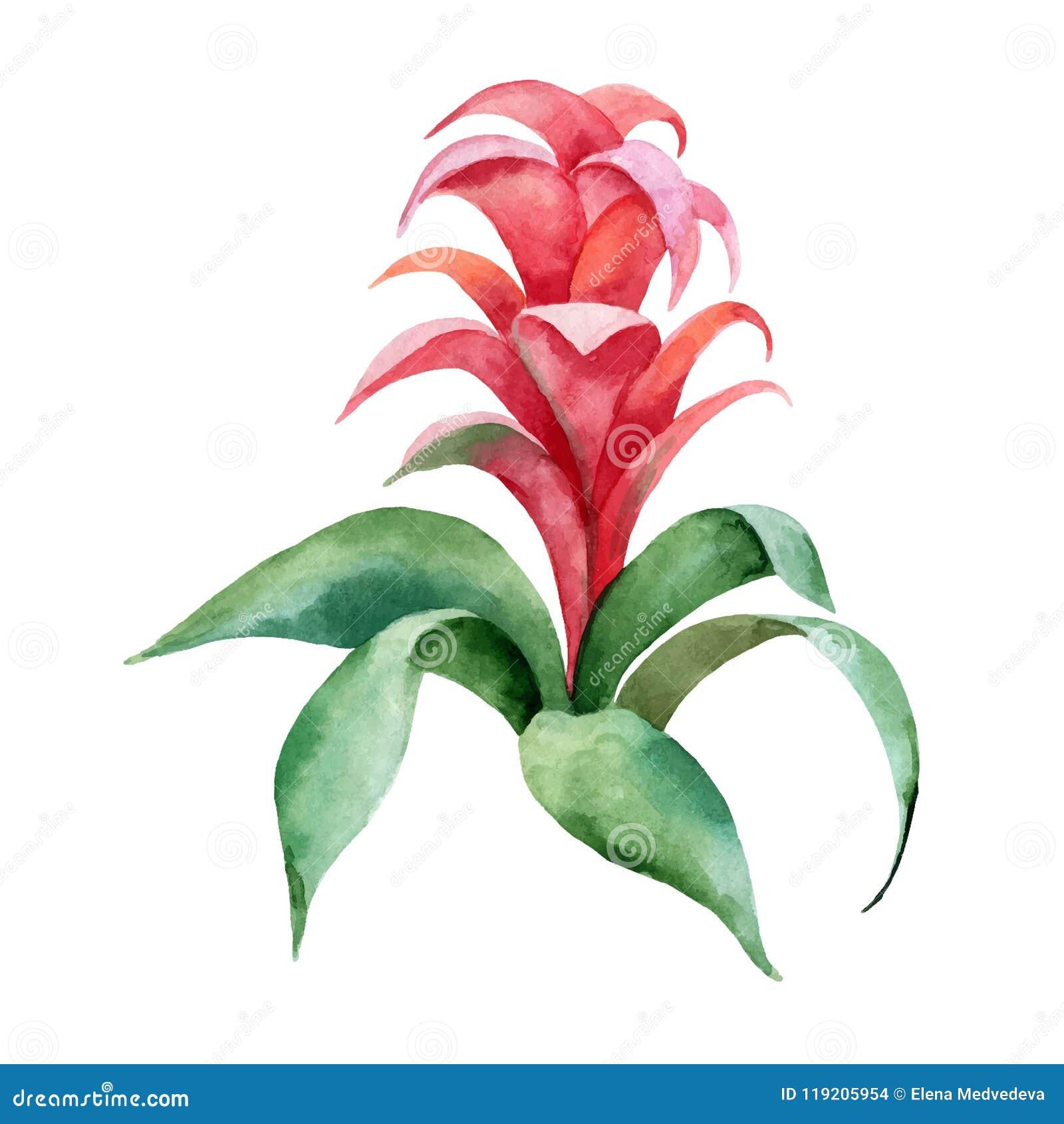 Akwareli ręki obrazu wektorowa ilustracja z Czerwonymi Bromelia zieleni i kwiatu liśćmi