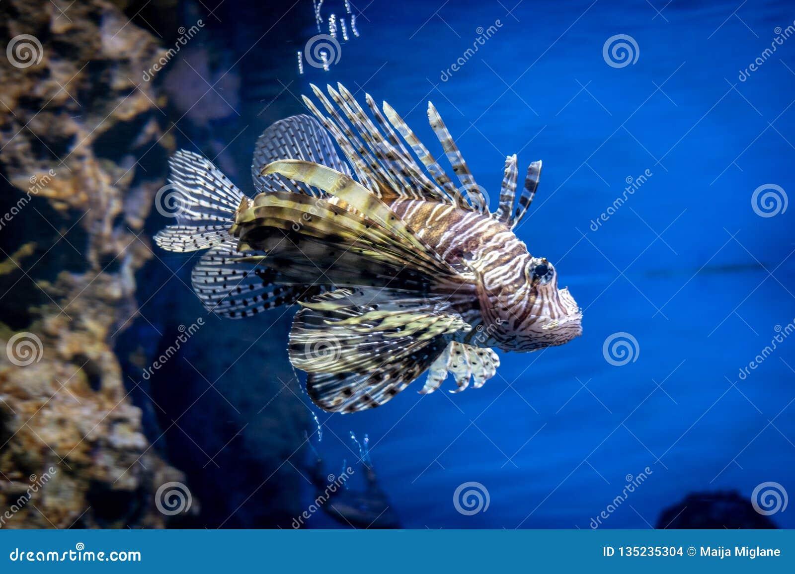 Akwarium Argus rybi scatophagus