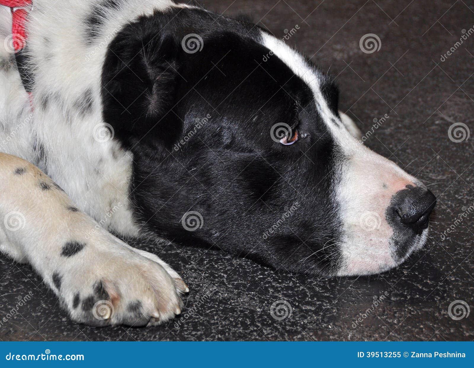 Alabai big dog sleeping