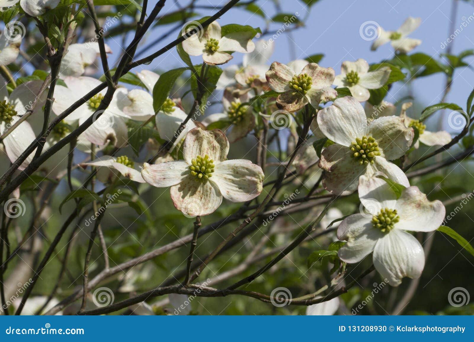 Alabama Dogwood Blossoms Cornus Florida Stock Photo Image Of