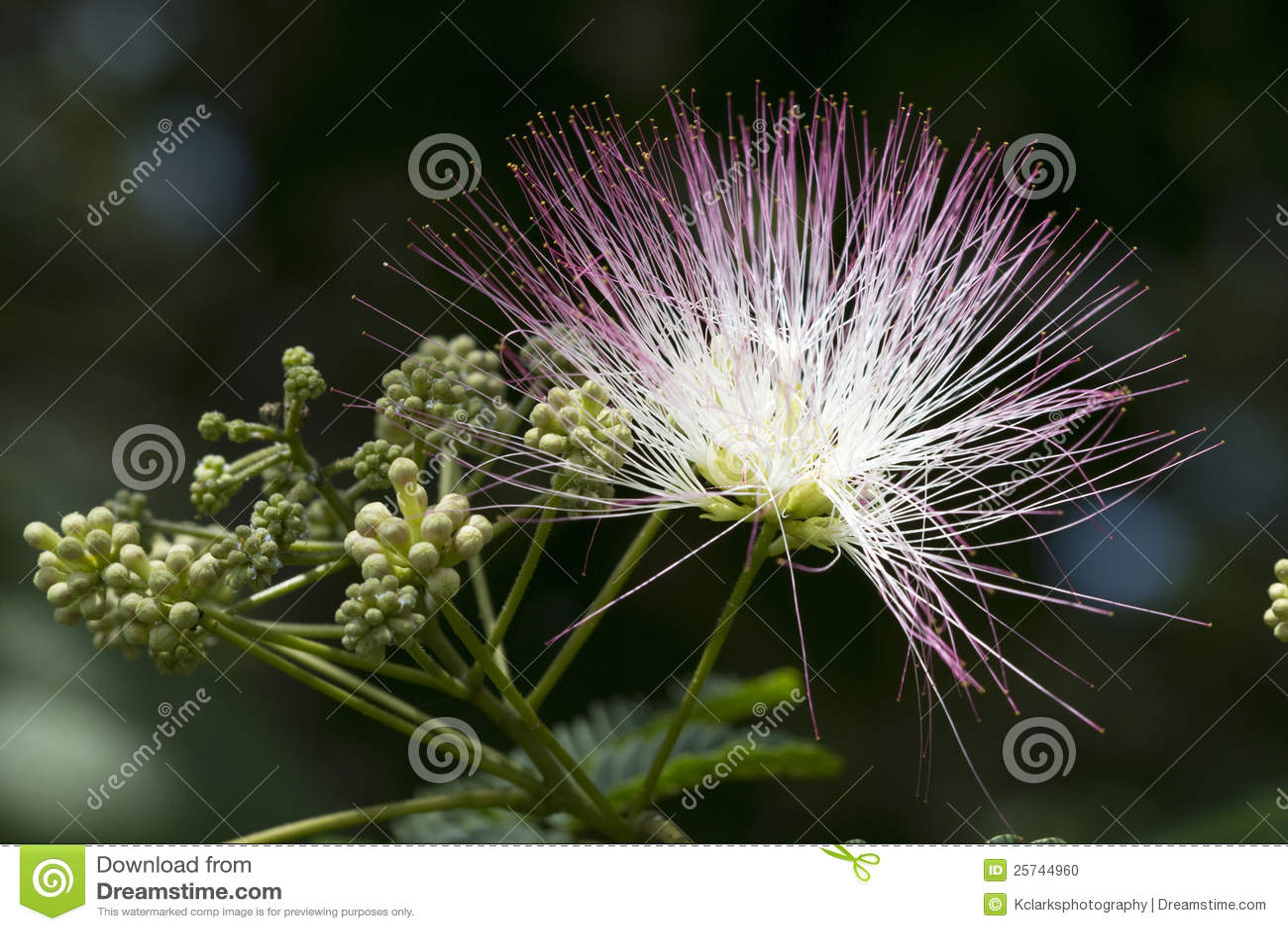Alabama Silk Mimosa Tree Blossom Stock Photo Image Of Pink Silk