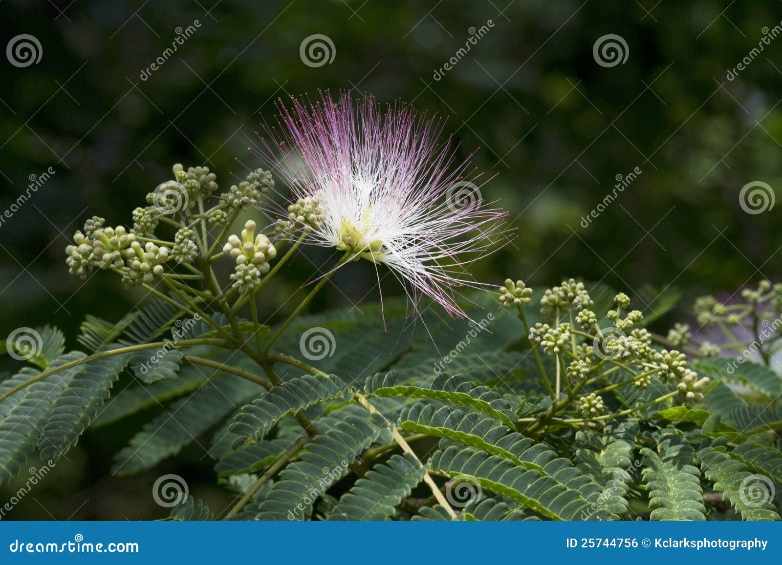 Alabama Silk Mimosa Tree Flowering Stages