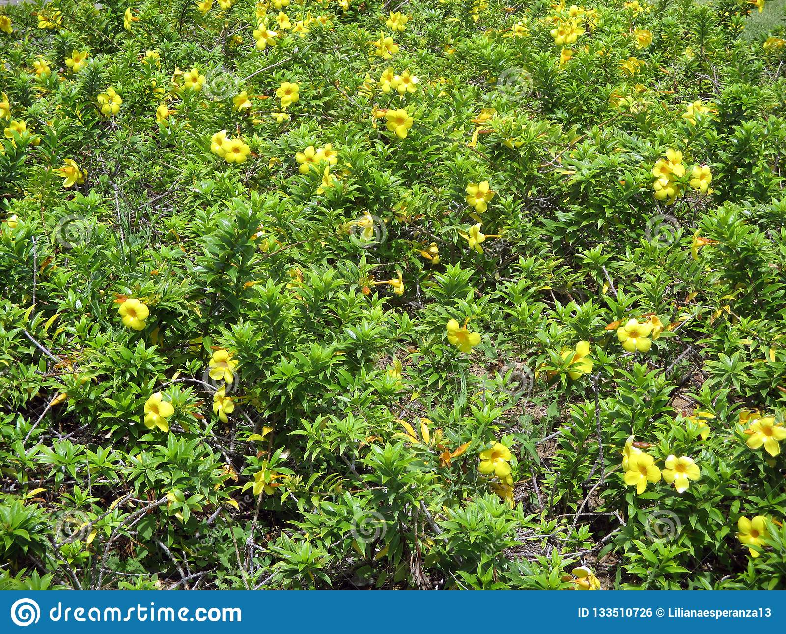 Fiori Gialli Rampicanti.Alamanda Or Gold Cup Climbing Plant With Yellow Flowers Stock