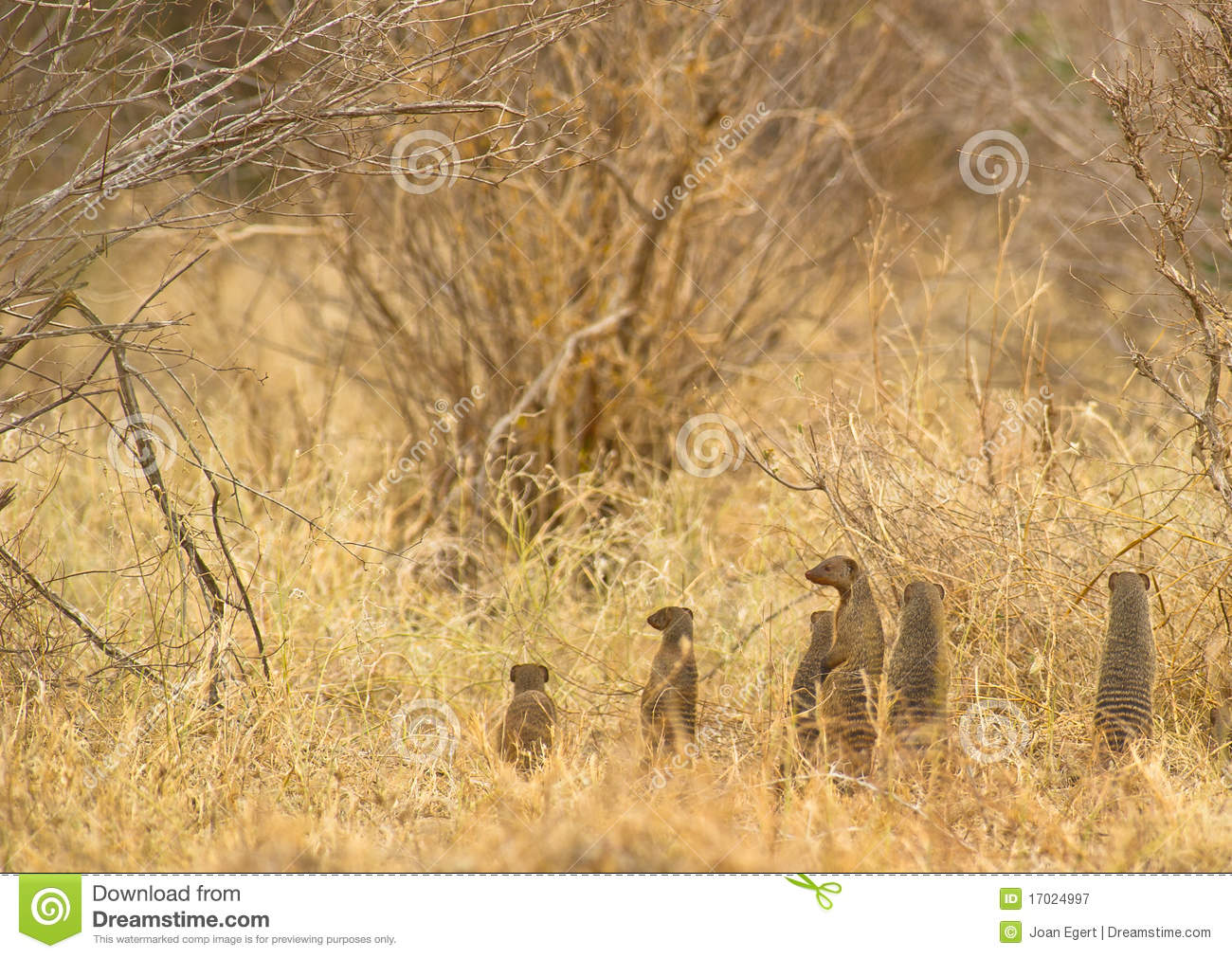 Alarm in Banded Mongoose family