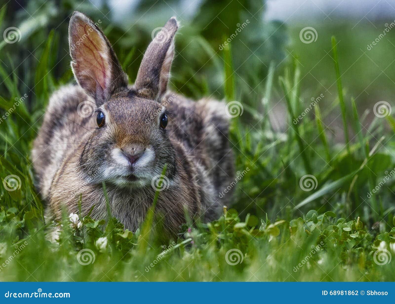 Alarma marrón salvaje del resto del conejo en la hierba
