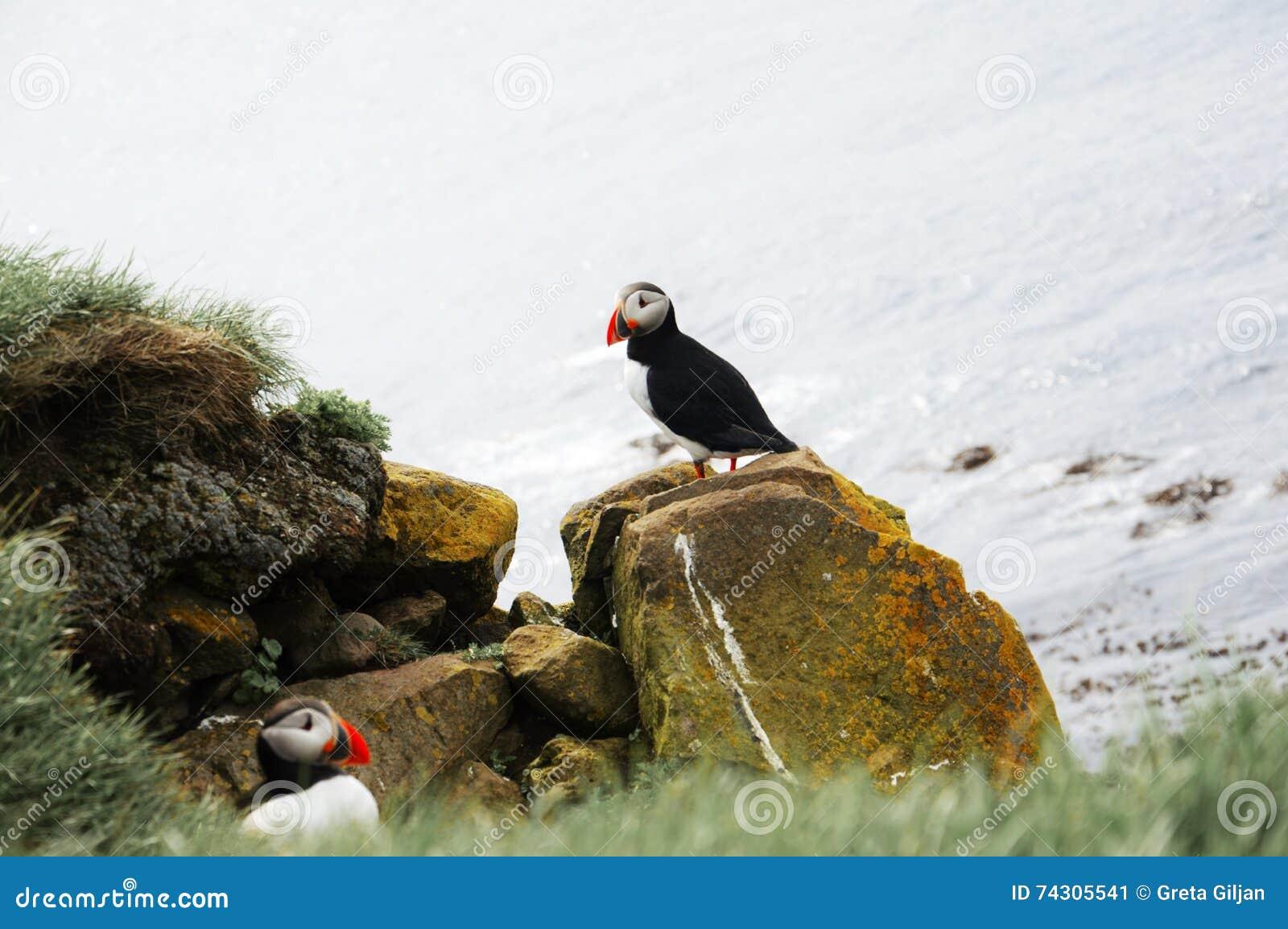 Alarme do papagaio-do-mar