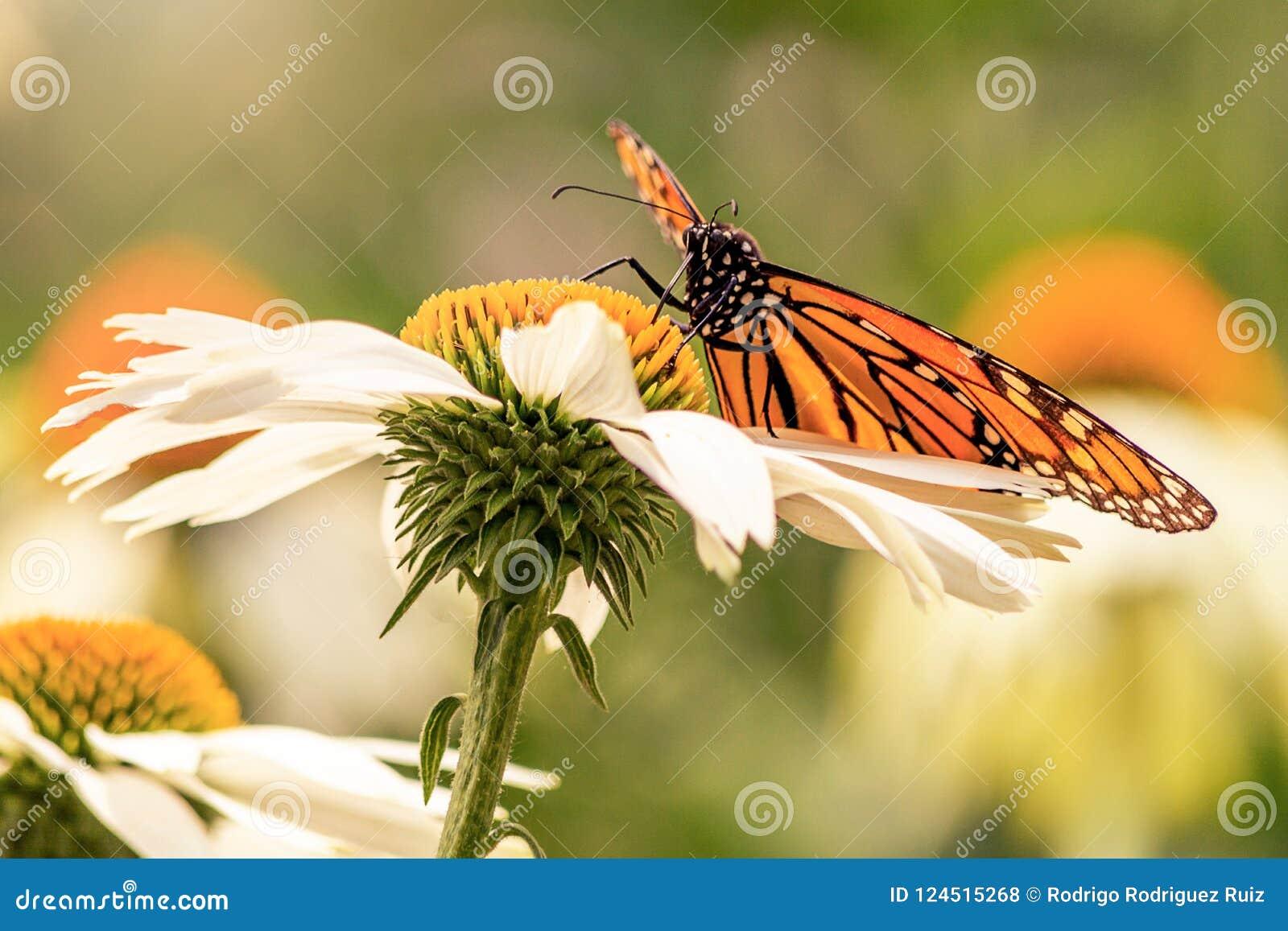 Alas de una mariposa de monarca